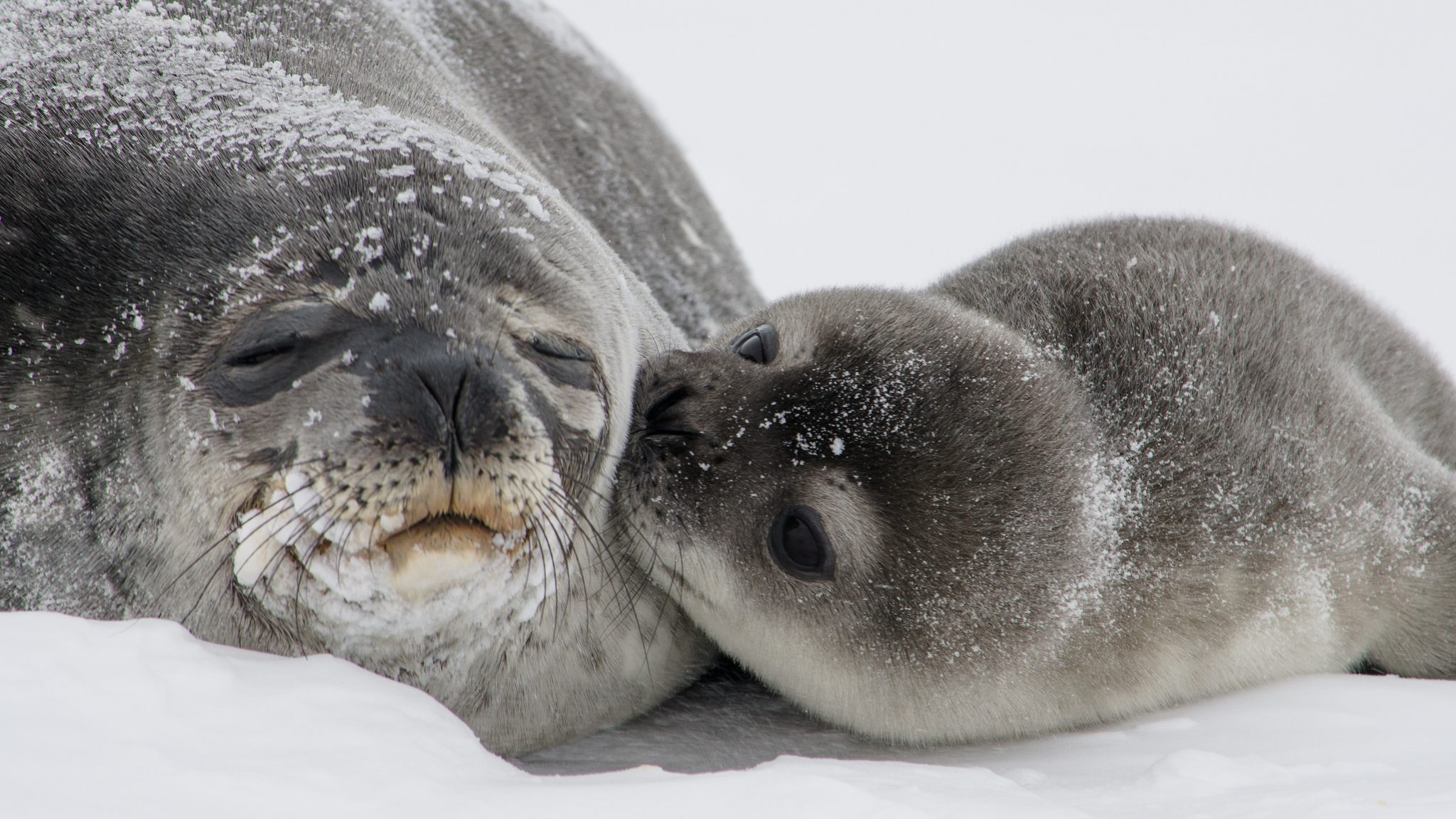 weddell seal pup and mother