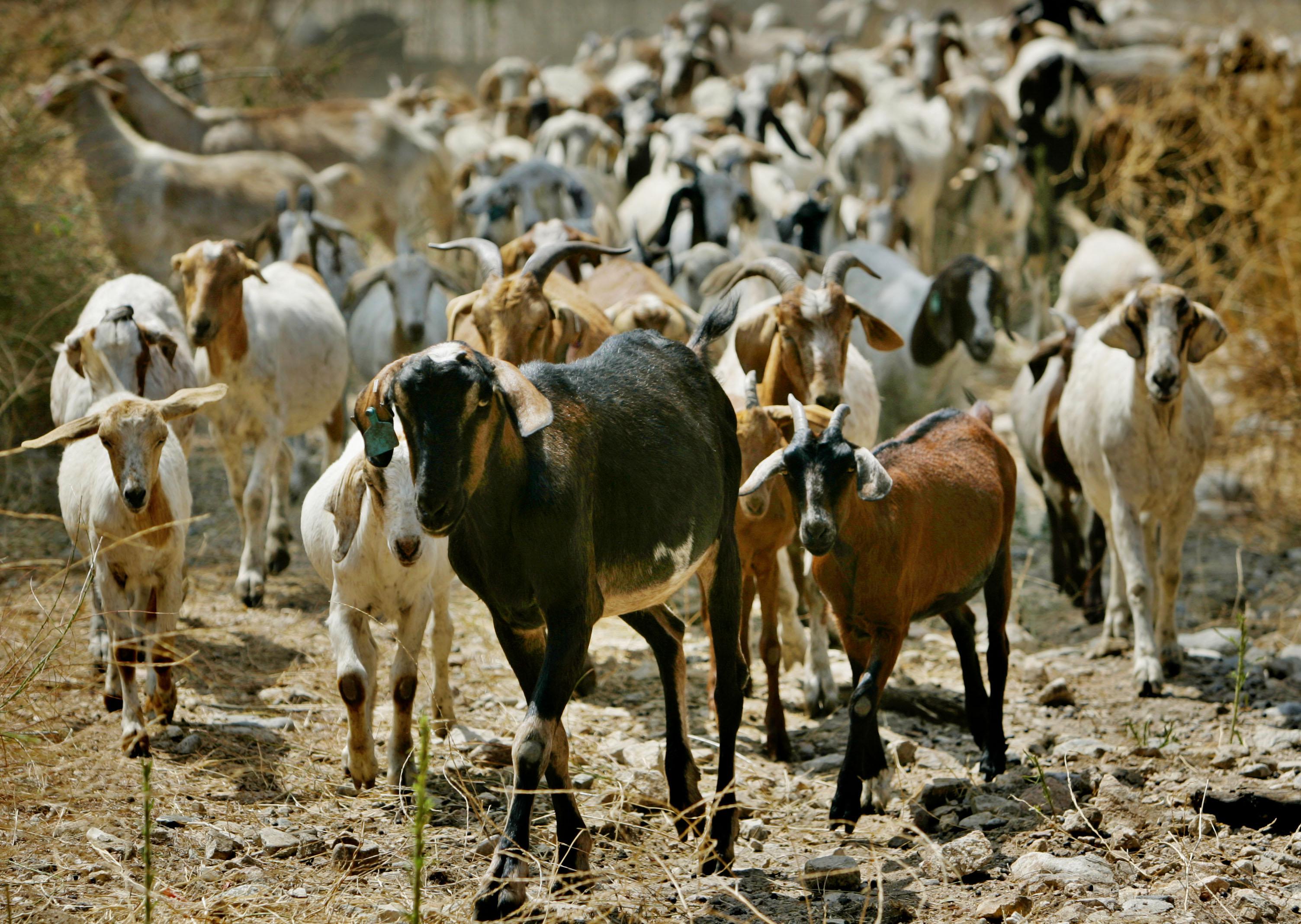 galapagos-goat-problem
