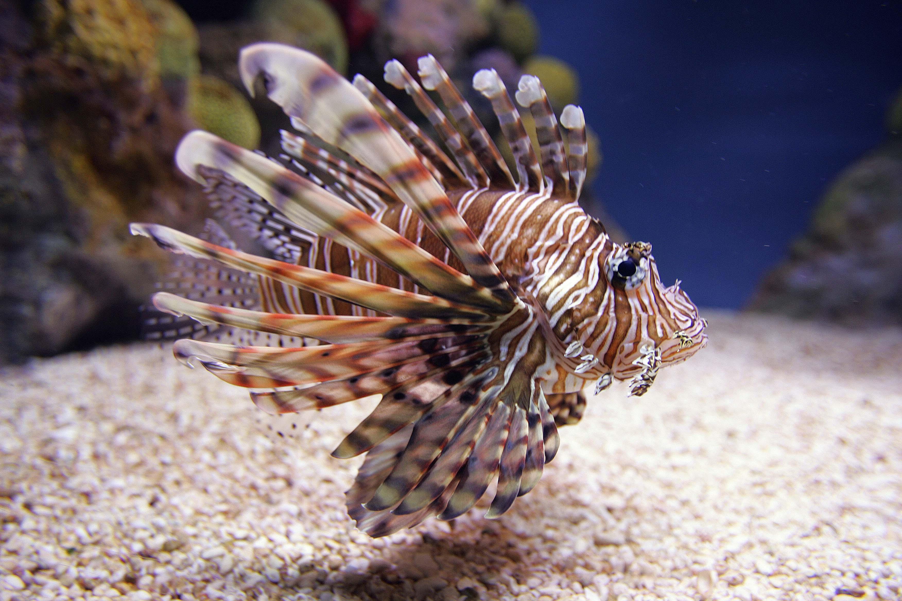 invasive-lionfish