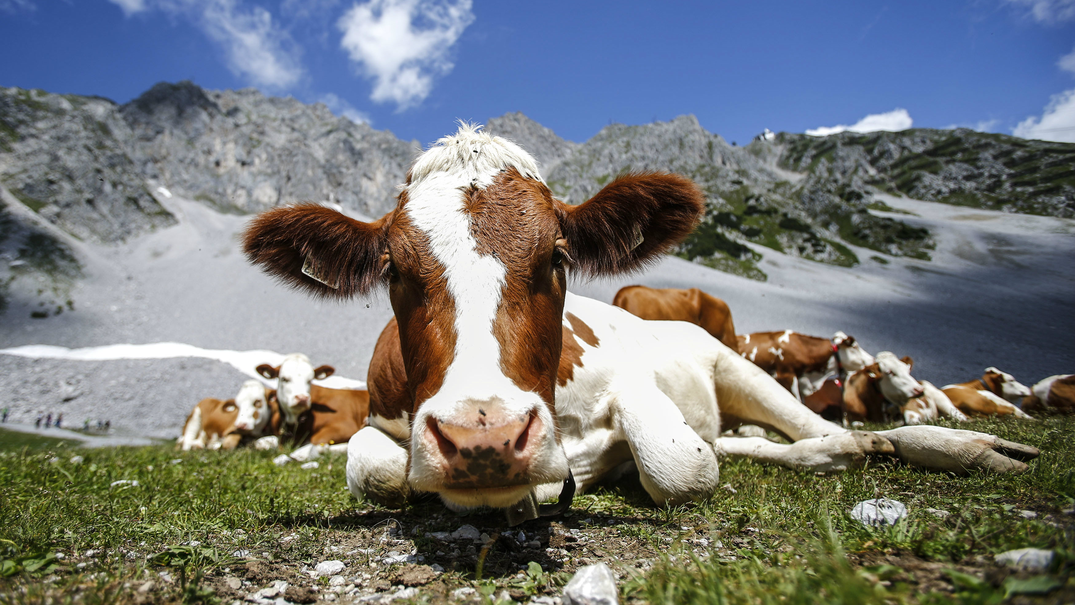 Cows lie in grass in front of Hafelekar mountain on a hot summer day in Innsbruck July 25, 2013. REUTERS/Dominic Ebenbichler