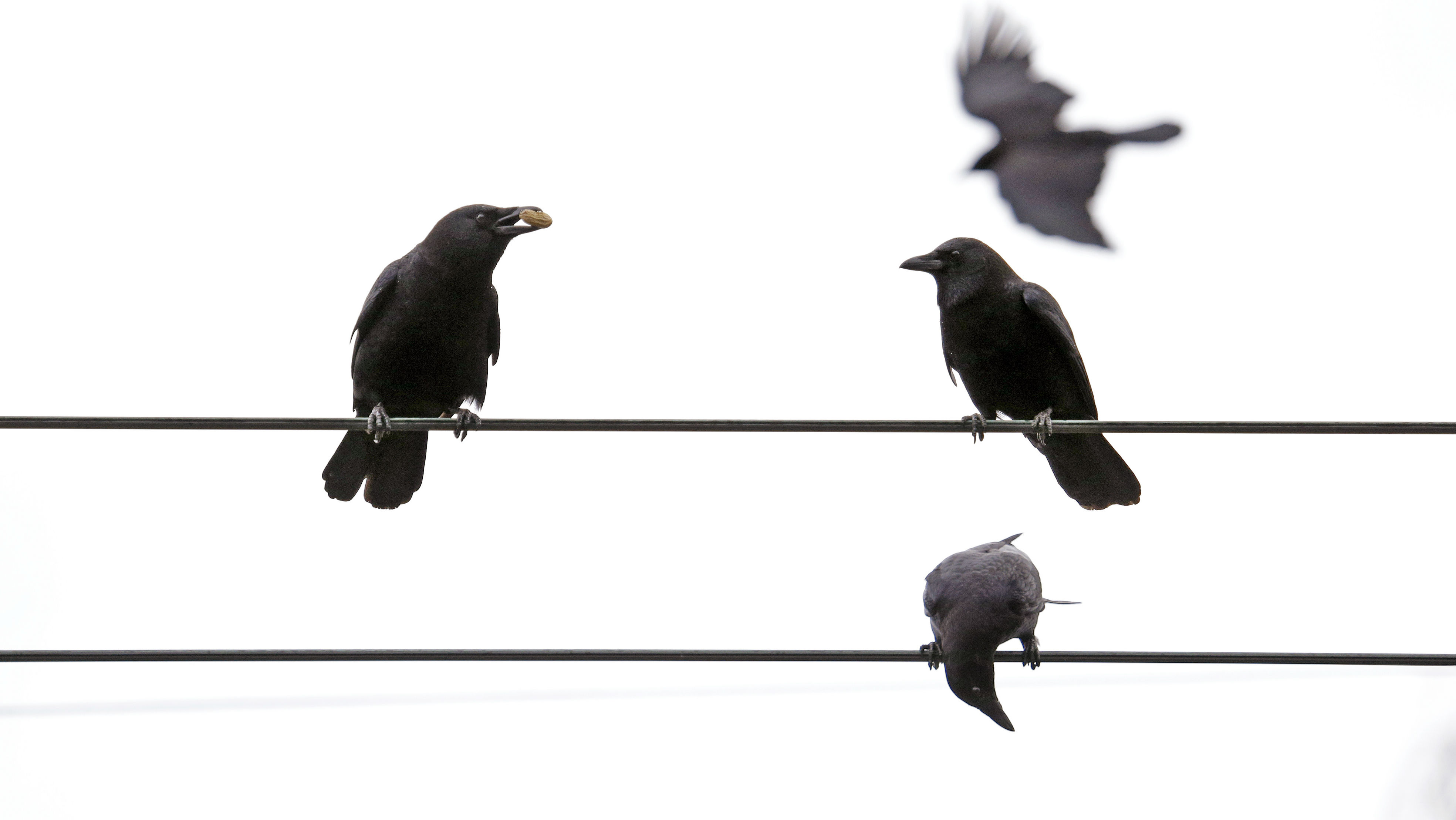 In this Thursday, March 10, 2016 photo, crows line overhead wires after following Darryl Dyer on his usual route in Seattle. For nearly every step of his almost 12-mile hike, Dyer says flocks of crows follow him, signaling each other, because they all know that he's the guy with the peanuts. Scientists for years have known that crows have great memories, that they can recognize a human face, their behavior and can pass that information onto their offspring.