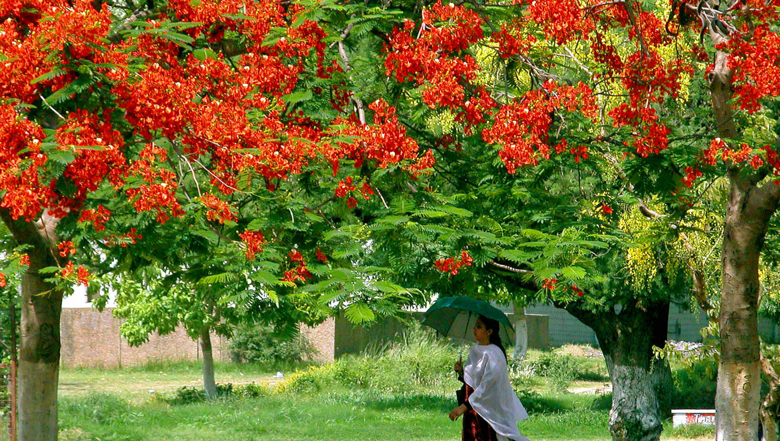An Indian woman walks under the shadows of Gulmohar trees on a hot day in the northern Indian city of Jammu, May 24, 2005. With the onset of summer, many parts of India are facing heat wave conditions when the day's maximum temperature crosses over 40 degrees Celsius (104 degrees Fahrenheit).
