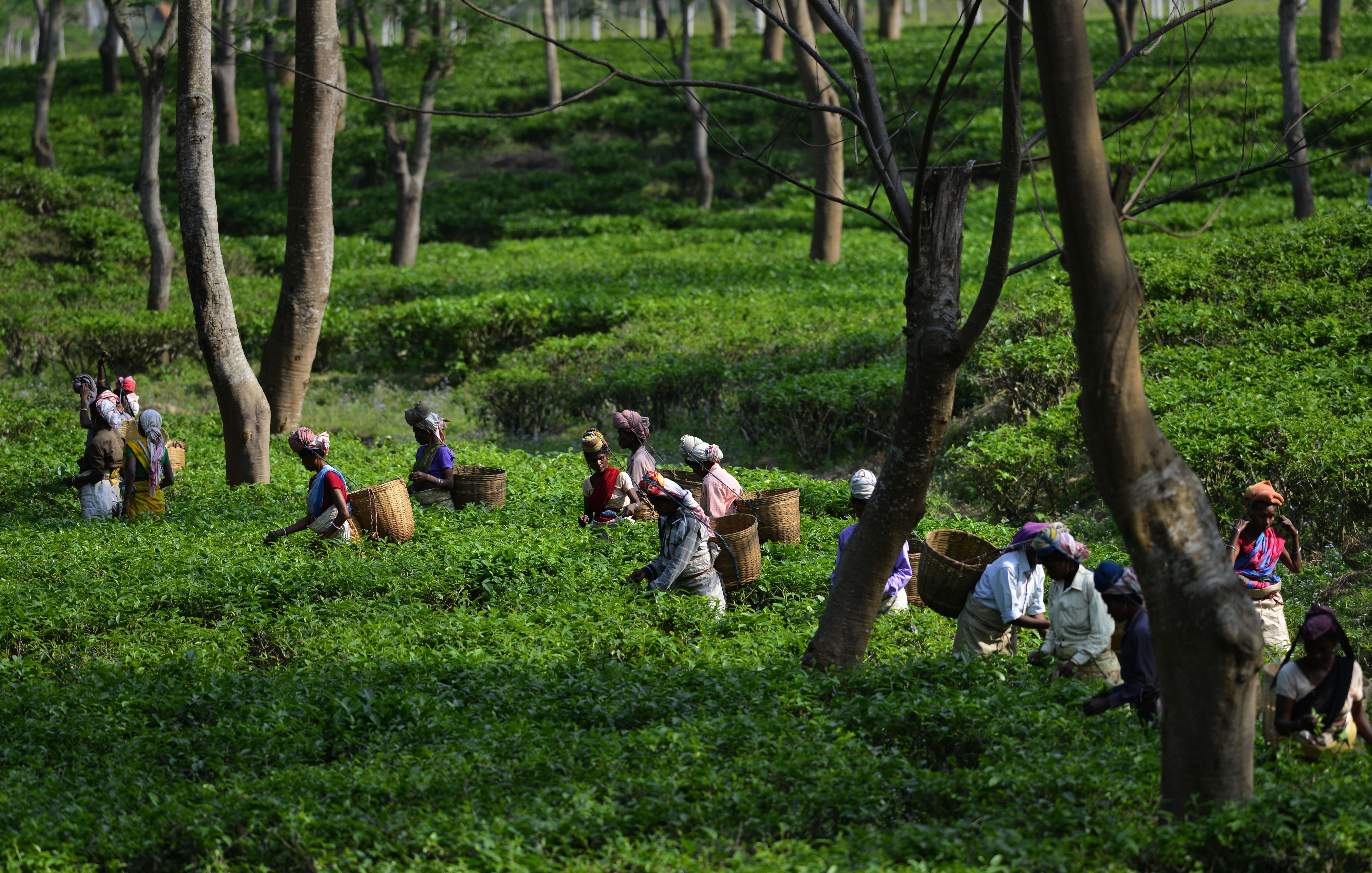 Tea-India-Assam