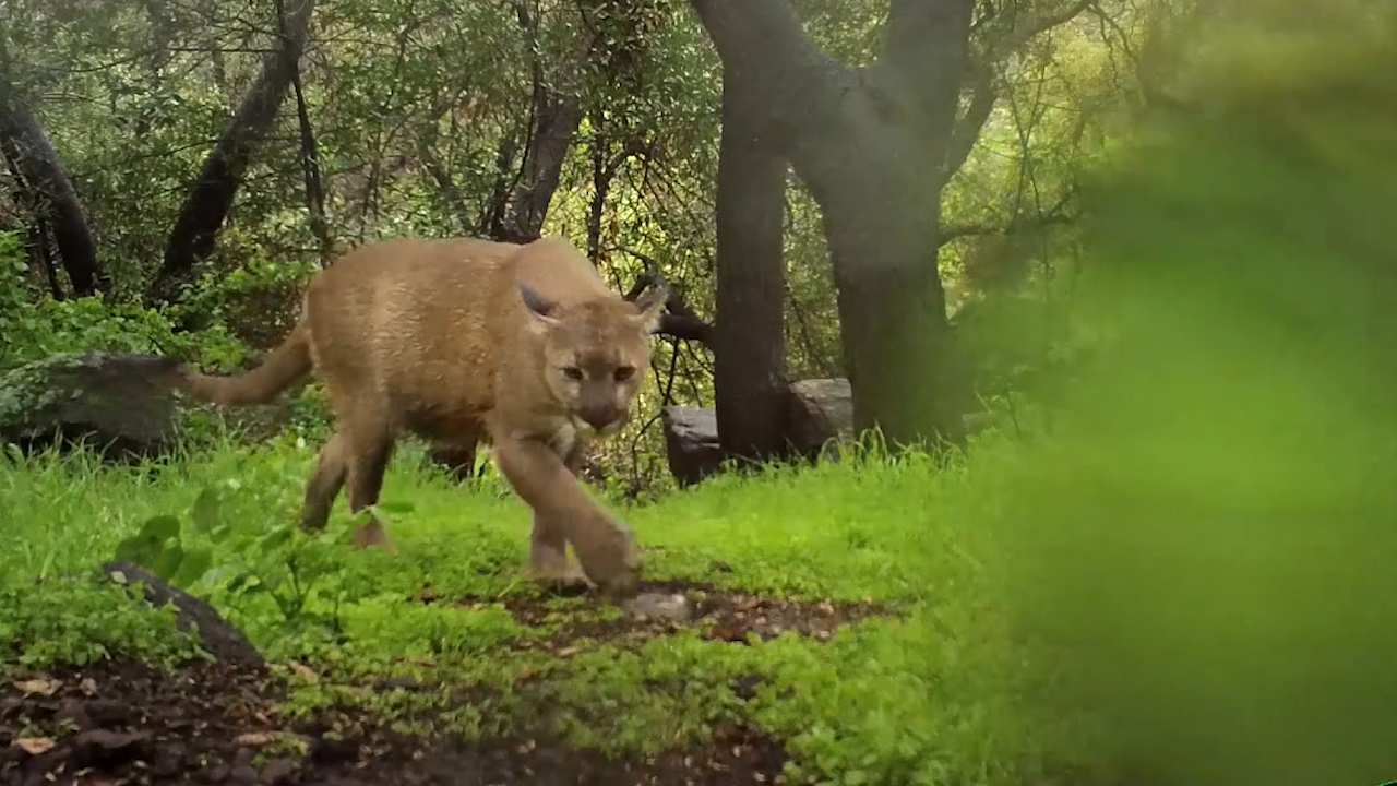Robert Martinez Films The Mountain Lions That Live Near His Home In
