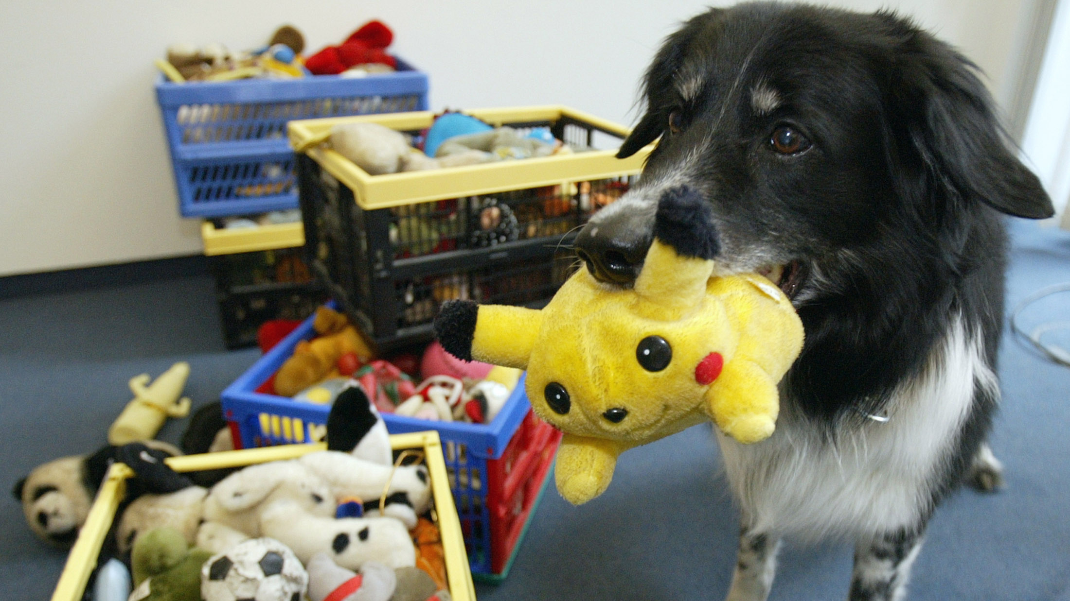 Border collie Rico, who can fetch at least 200 objects by name retrieves a pokemon cuddly in Berlin June 10, 2004. The clever dog can figure out which objects his master wants even if he has never heard the word before. Rico may be living proof that dog truly understand human language, German scientists reported on Thursday. REUTER/Manuela Hartling ATTENTION EDITORS - PICTURE EMBARGOED FOR PUBLICATION AND ONLINE USE UNTIL 18.00 GMT ON JUNE 10, 2004 - RTR43NB