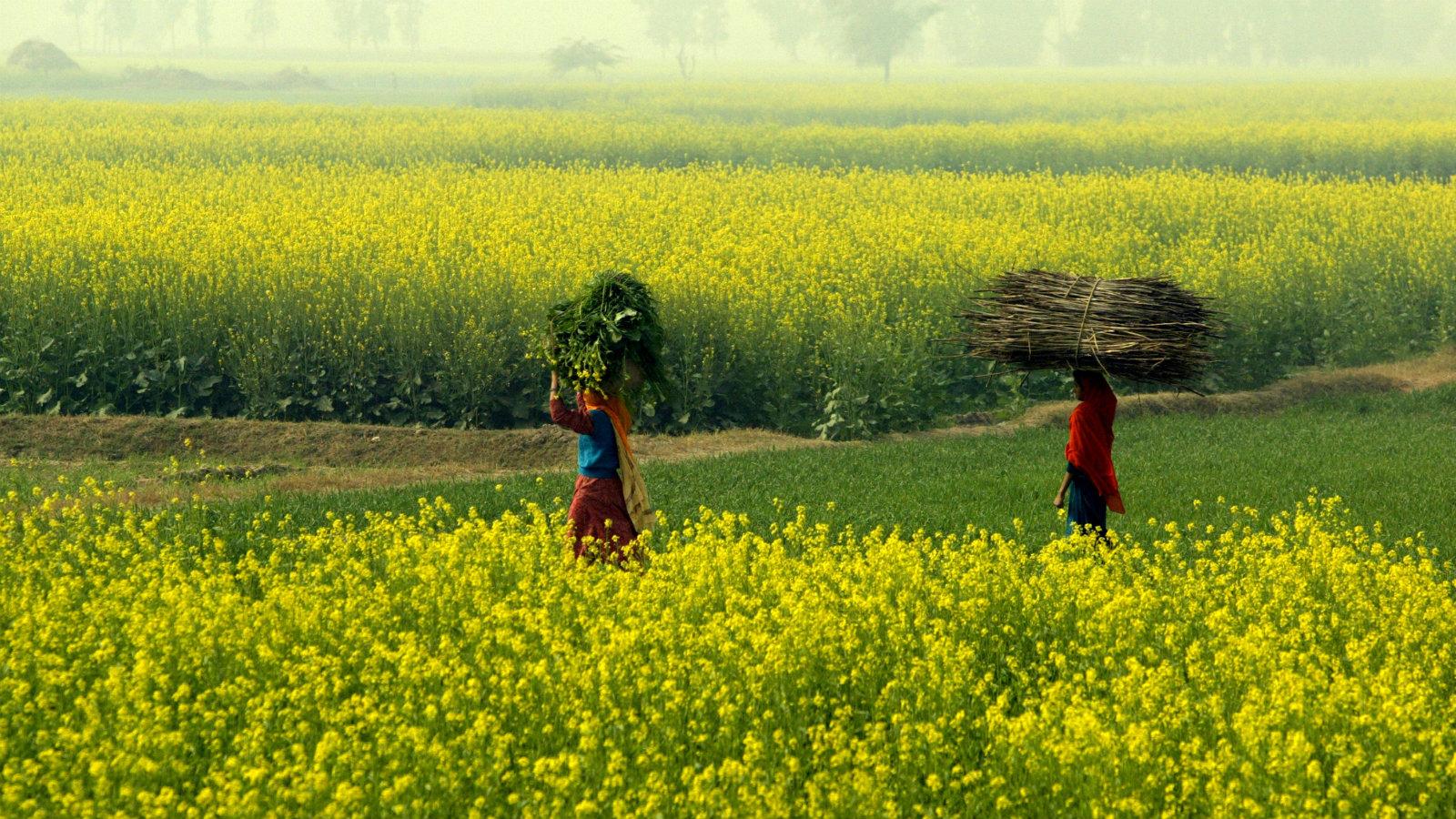 Women walk in a mustard field in a village near Jhajjar, the northern state of Haryana, December 30, 2005.