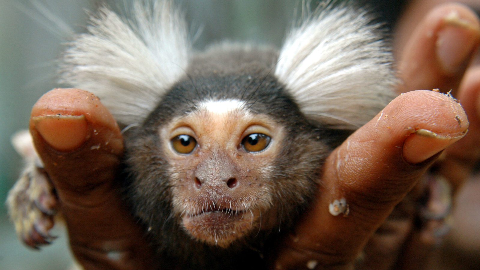 A forest officer shows a marmoset, a rare breed of monkey, in the southern Indian city of Chennai July 28, 2006.