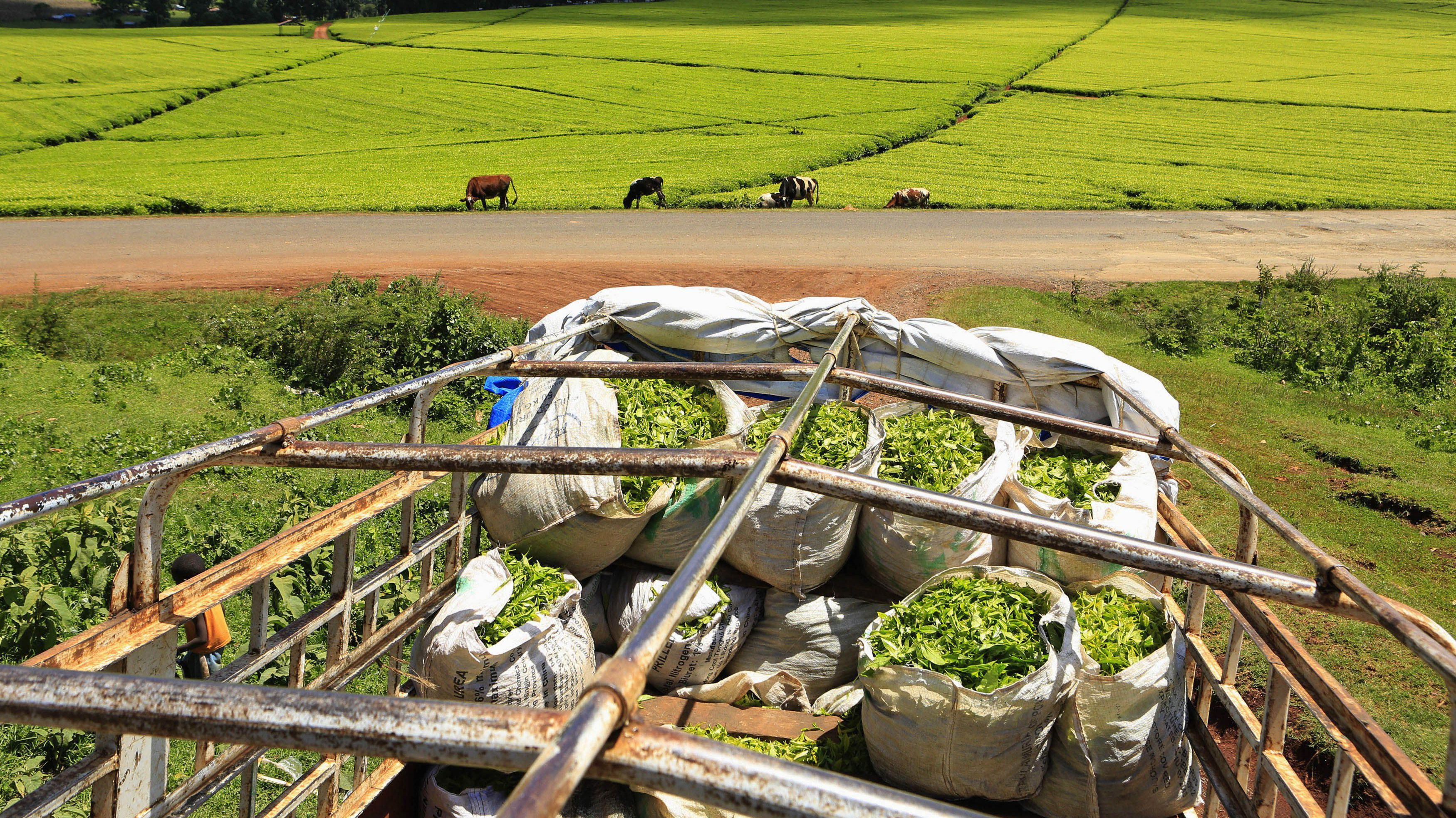 A truck is loaded with bags of tea leaves at a plantation in Nandi Hills, in Kenya's highlands region west of capital Nairobi, November 5, 2014. Emerald-coloured tea bushes blanketing the rolling hills of Nandi County have long provided a livelihood for small-scale farmers, helping make Kenya one of the world's biggest tea exporters. But ideal weather and bigger harvests, instead of producing bumper earnings, have led to a glut of Kenya's speciality black tea. Picture taken November 5, 2014. To match story KENYA-TEA/ REUTERS/Noor Khamis (KENYA - Tags: AGRICULTURE BUSINESS EMPLOYMENT COMMODITIES) - RTR4EBBS