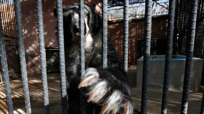 An Andean bear stretches its claws inside a cage at the Paraguana zoo in Punto Fijo