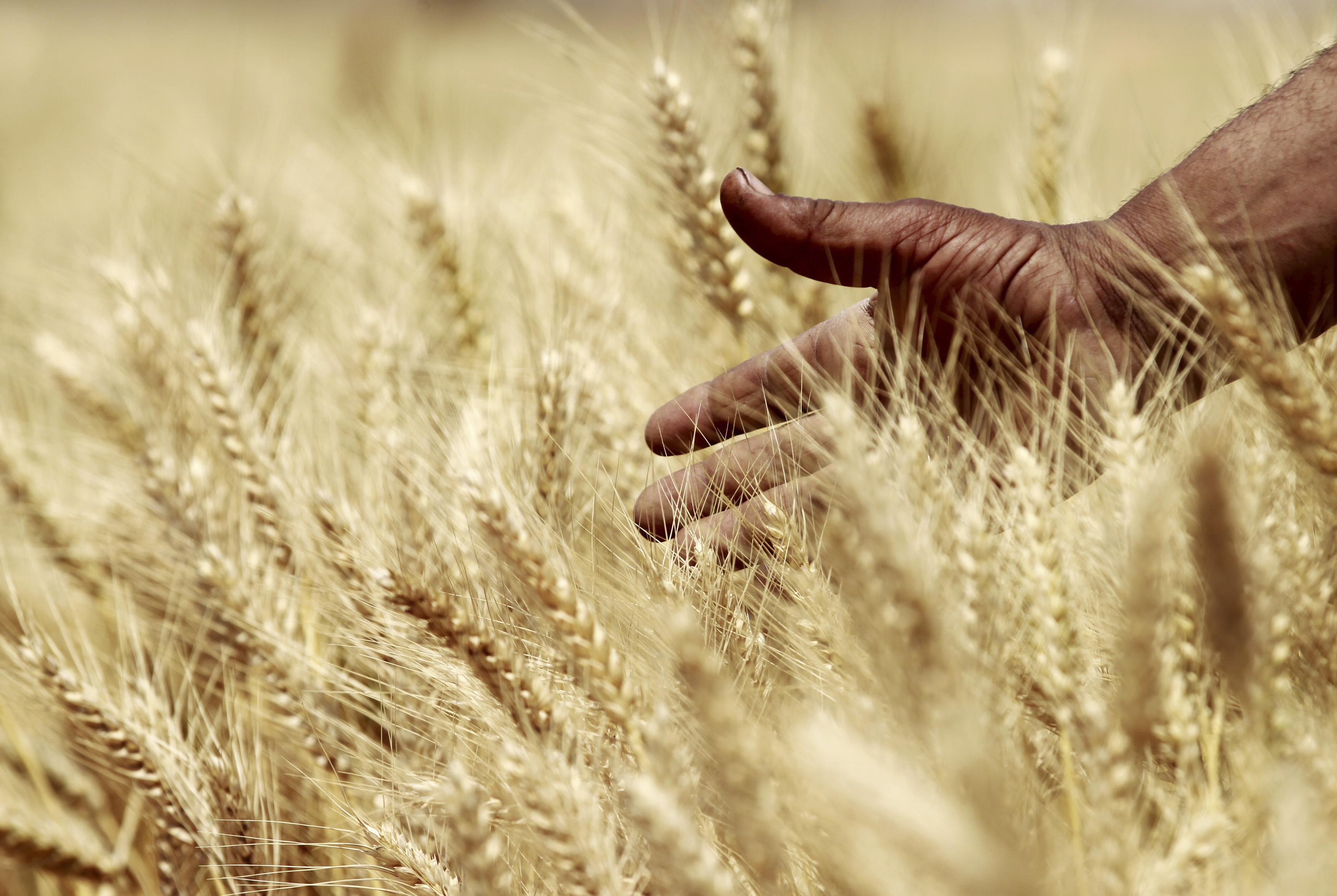 Wheat fields in Egypt.