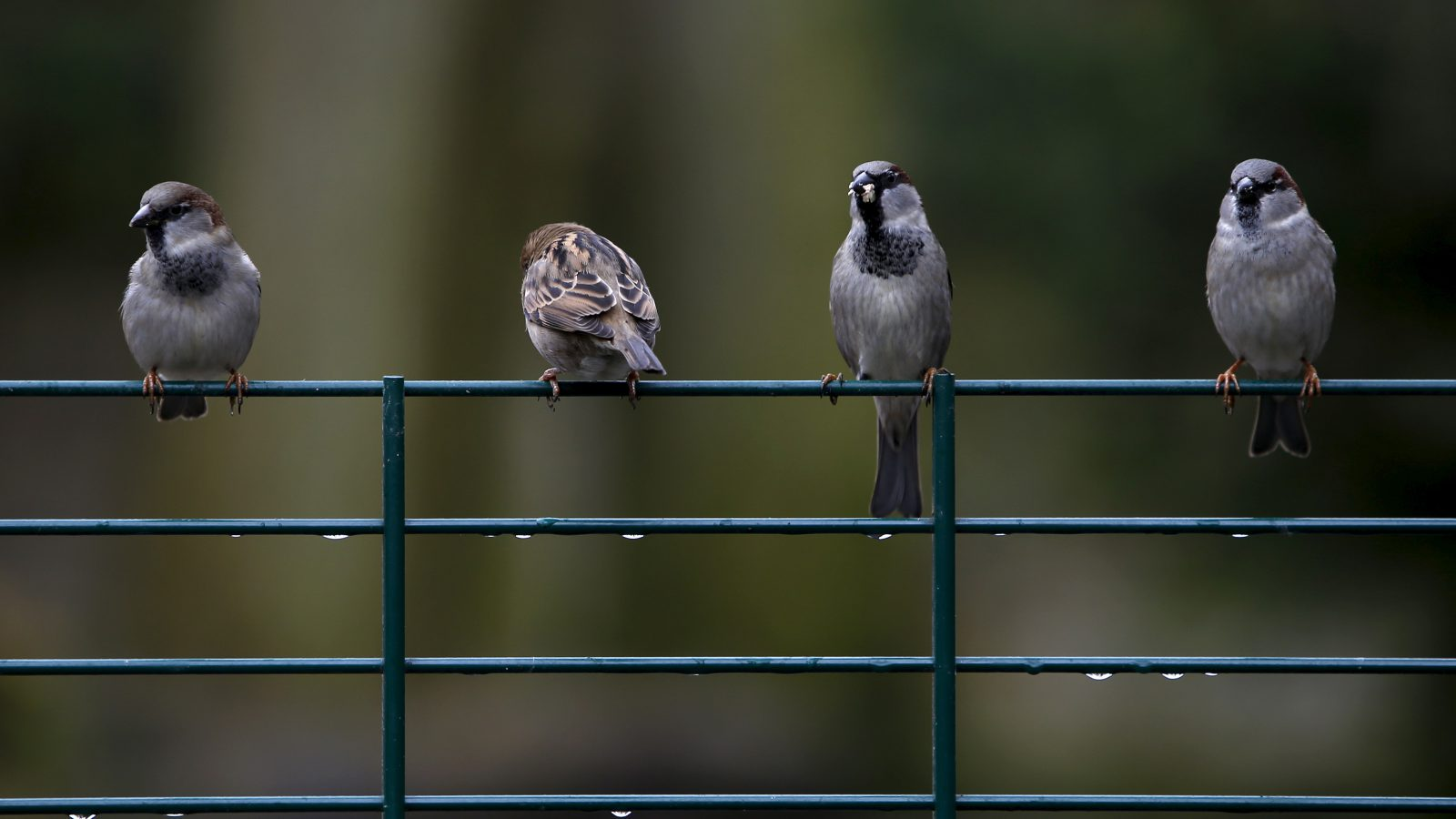 sparrows-sitting-on-fence