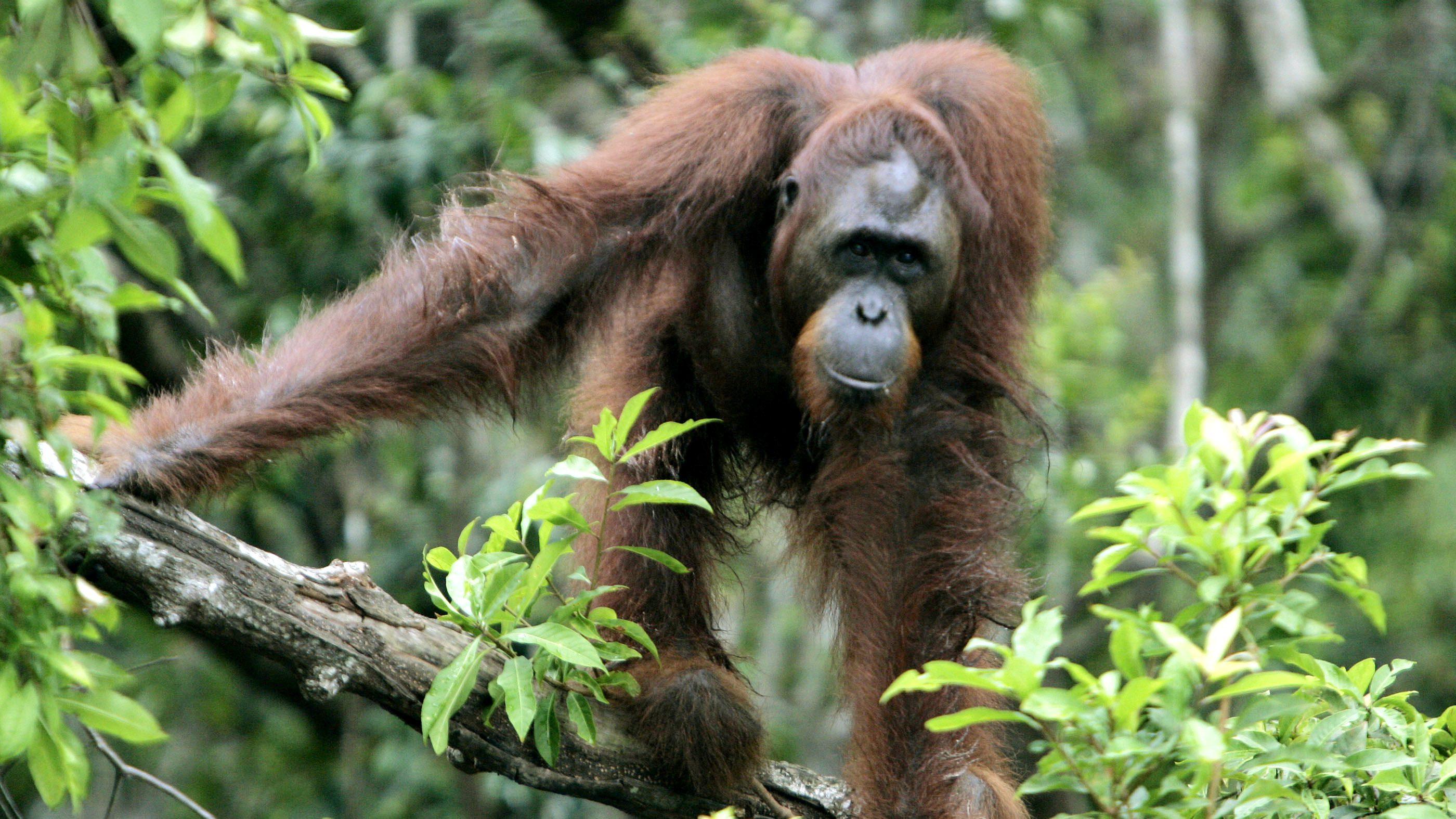 An orangutan in Indonesia