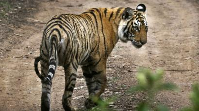 India's most-photographed, crocodile-fighting tiger, Machli