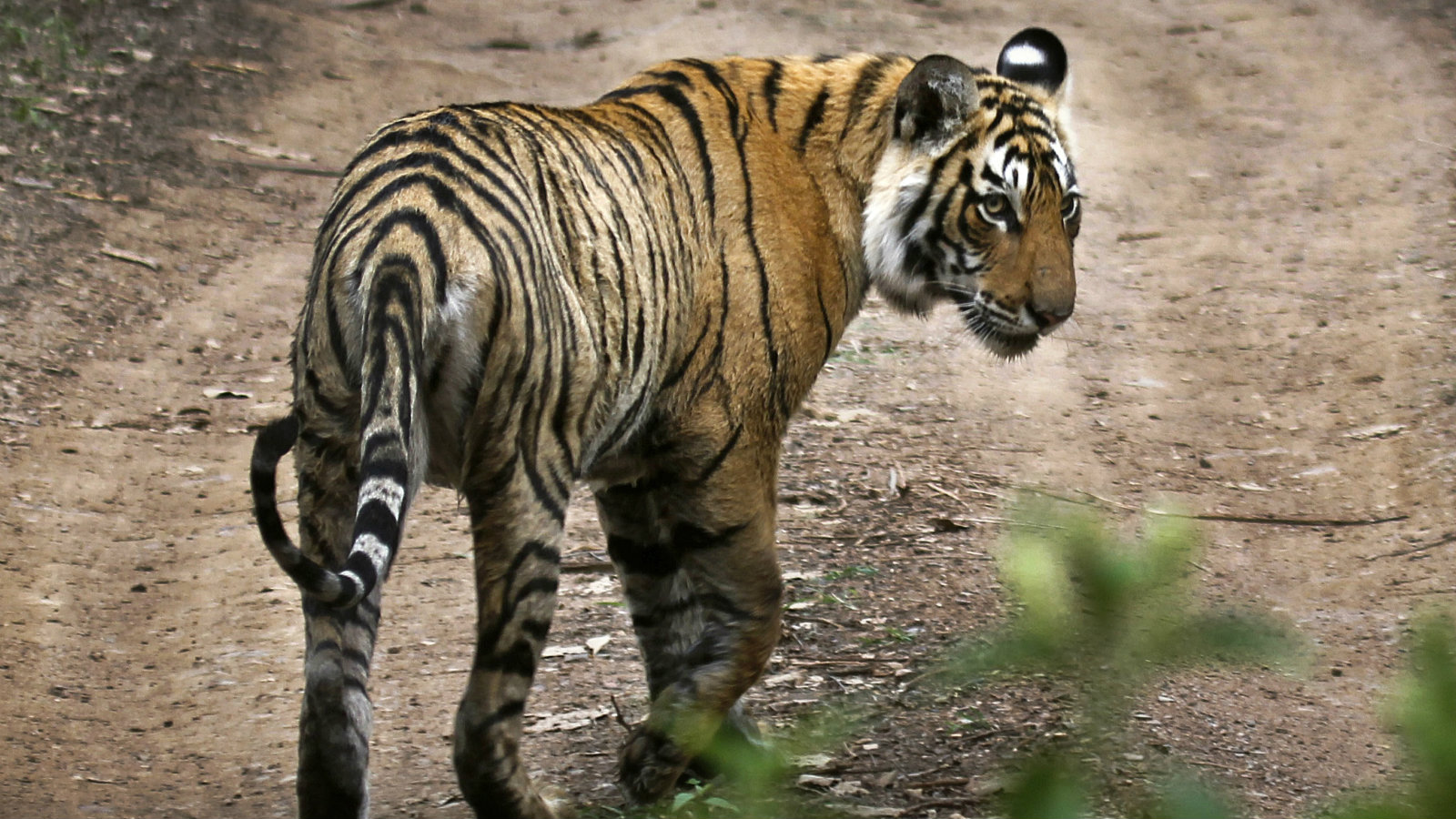 In this April 12, 2015 photo, a tiger walks at the Ranthambore National Park in Sawai Madhopur, India. India's tiger population has gone up 30 percent in just four years. The government lauded the news as astonishing evidence of victory in conservation. But independent scientists say such an increase - to 2,226 big cats - in so short a time doesn't make sense. They worry an enthusiastic new government under Prime Minister Narendra Modi is misinterpreting the numbers, trumpeting false claims of a thriving tiger population that could hurt conservation in the long run.