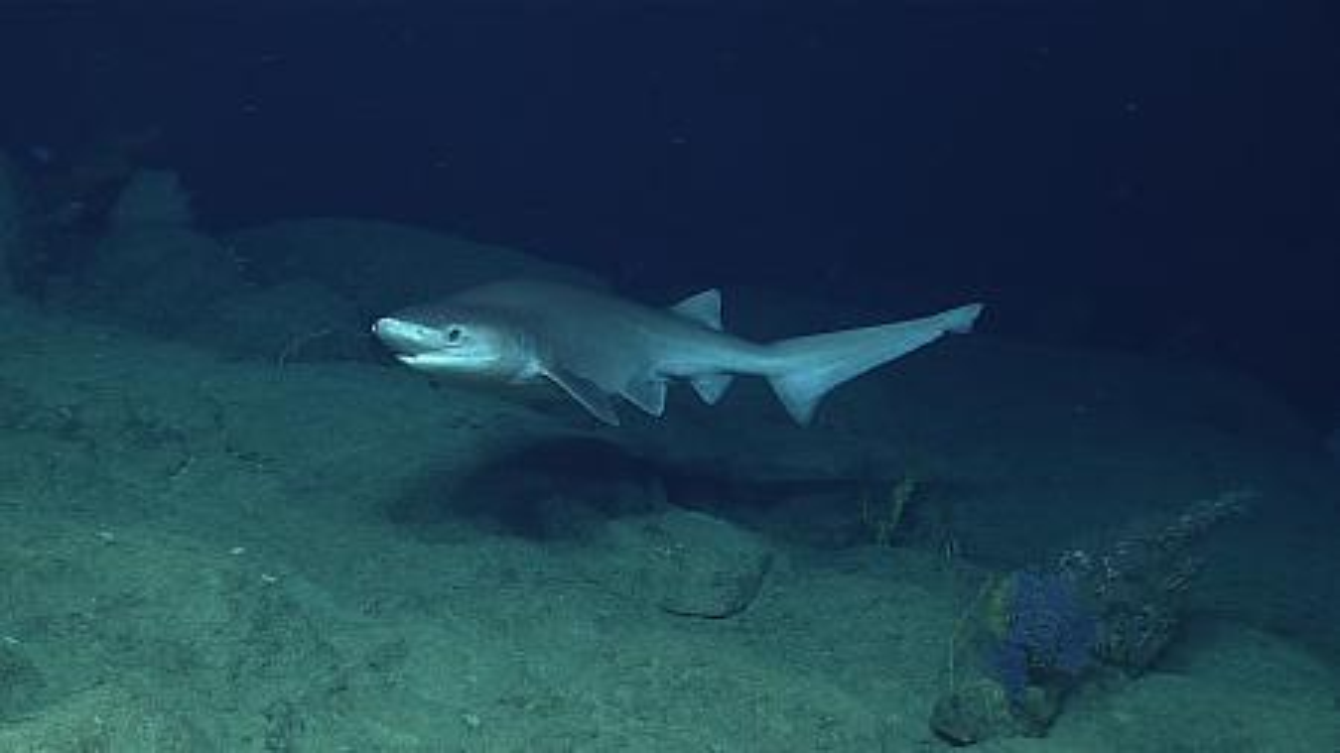 bluenose-sixgill-shark