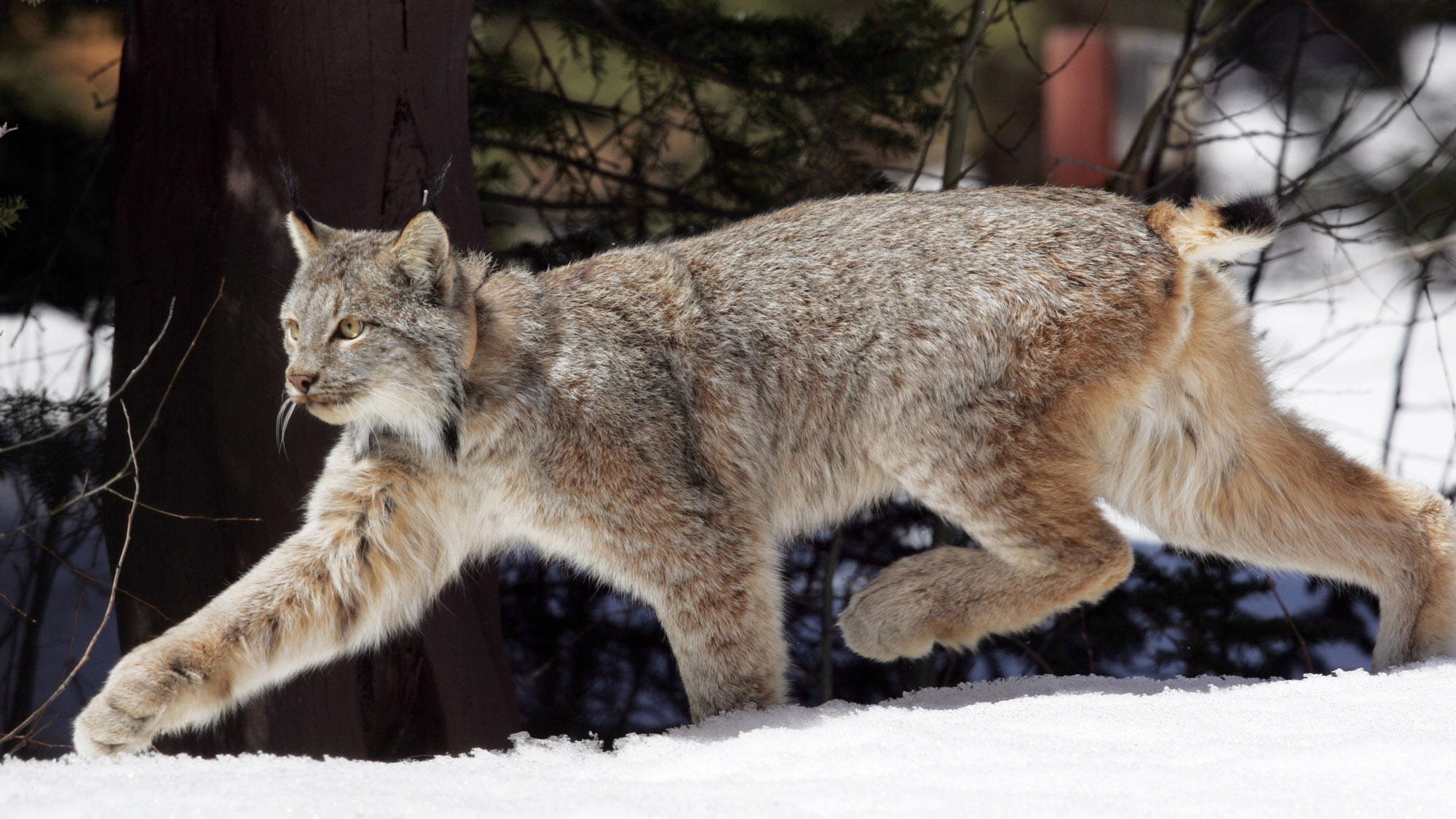 In this Tuesday, April 19,2005 file photo a Canada lynx heads into the Rio Grande National Forest after being released near Creede, Colo. Wildlife officials have dropped their appeal of a court ruling that forces the government to revise its flawed plan to protect critical habitat for Canada lynx. The move means the U.S. Fish and Wildlife Service will have to reconsider areas in Colorado, Montana and Idaho for critical habitat designation.