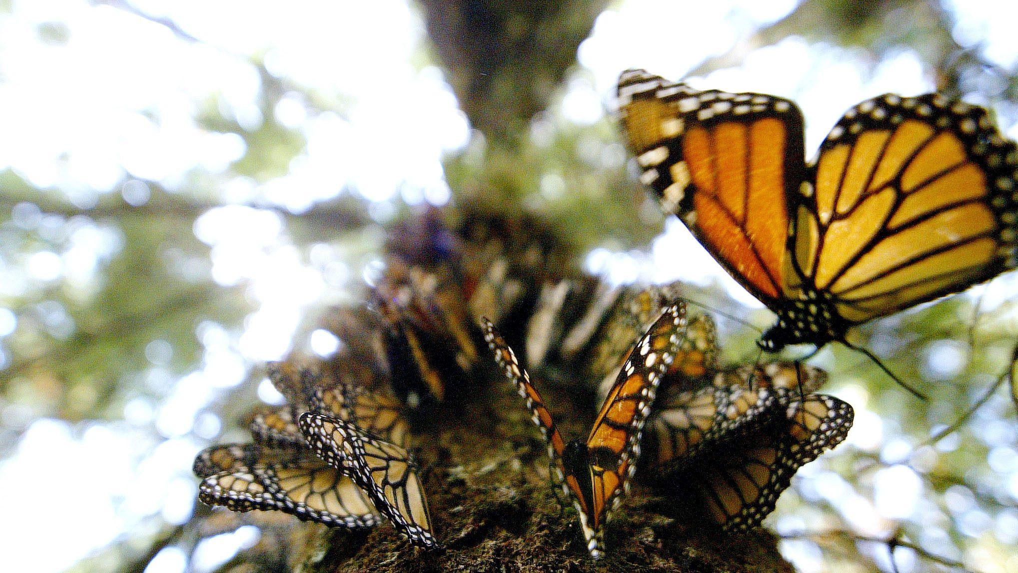 Hundreds of Monarch butterflies line a tree trunk on the Cerro del Campanario, in the El Rosario but..