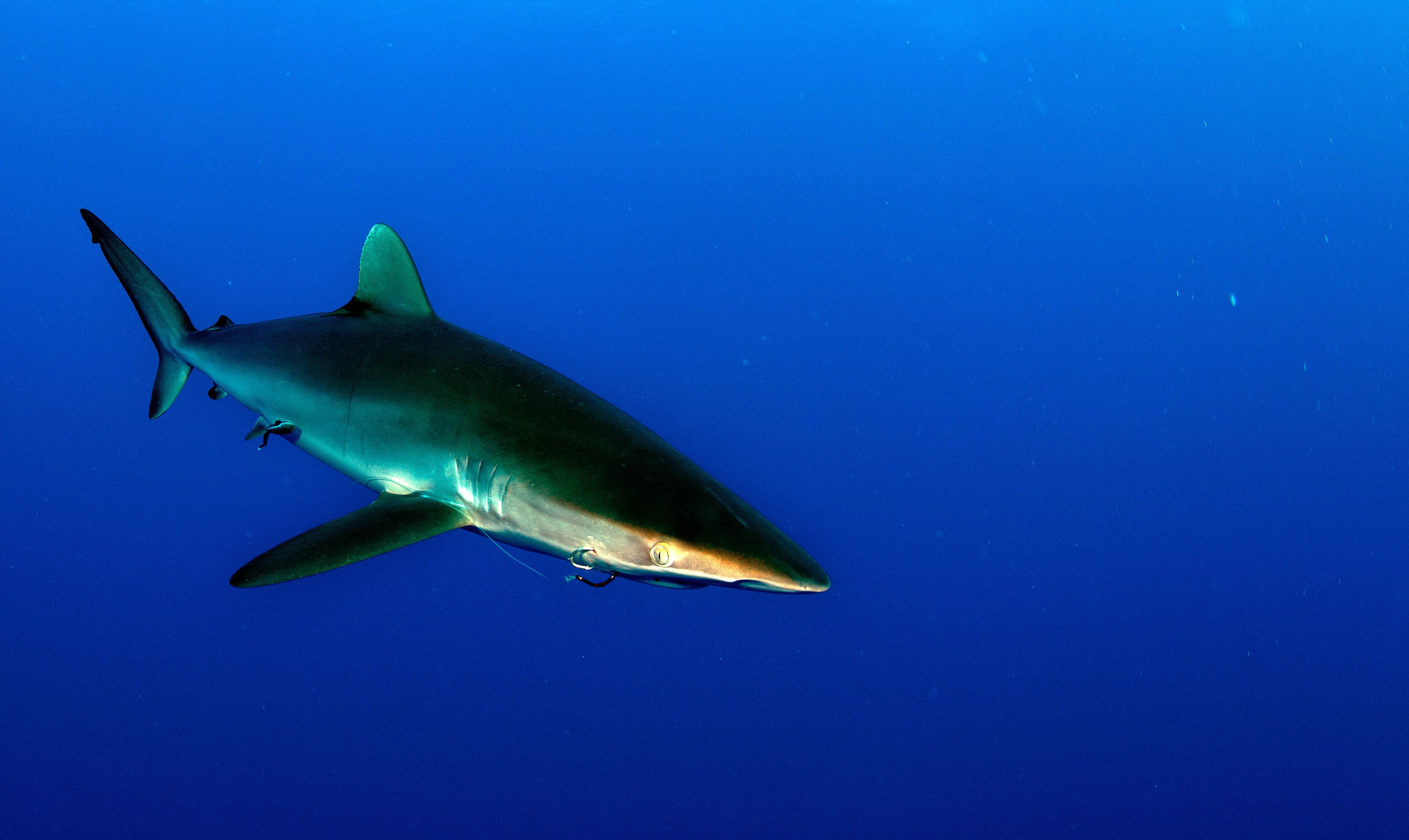 silky-shark