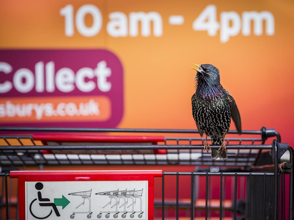 A starling finds its spot on a supermarket cart in Cornwall, England.