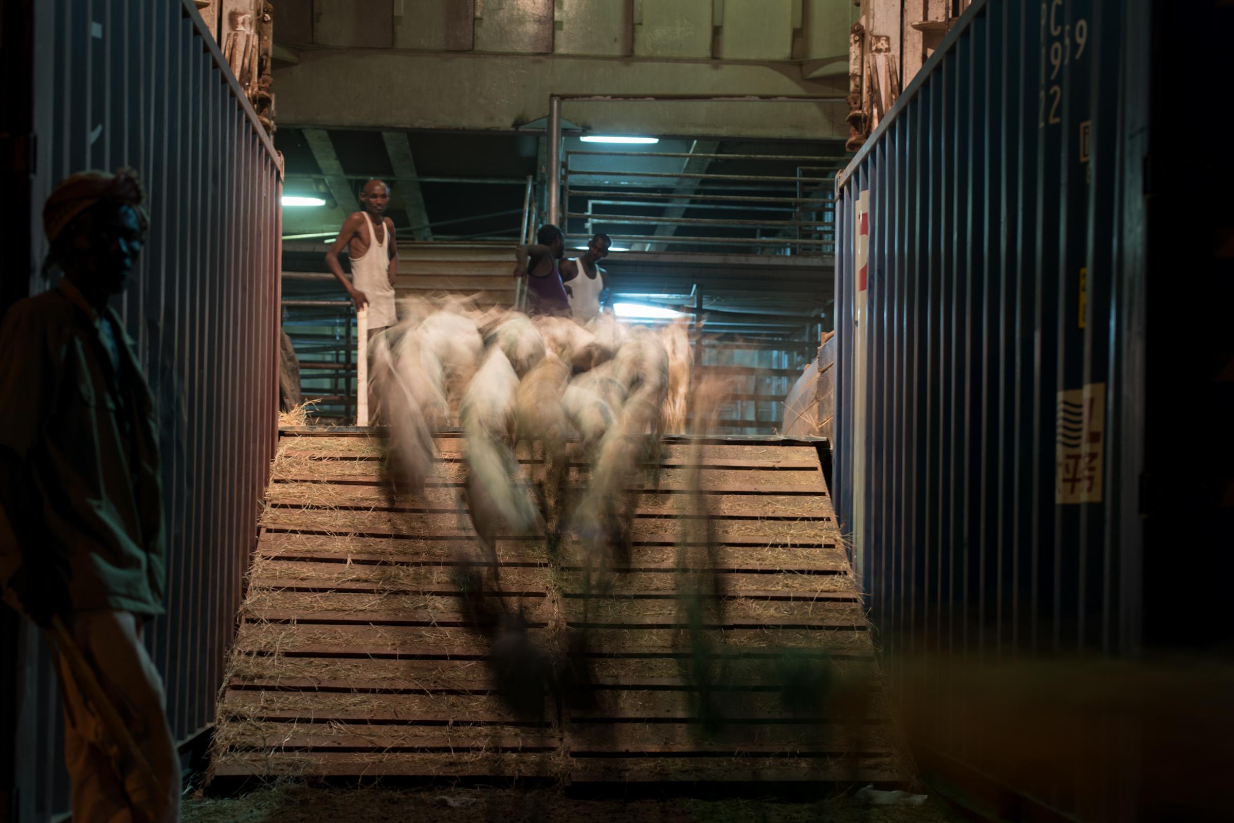 Somalia and Somaliland export livestock to Saudi Arabia to