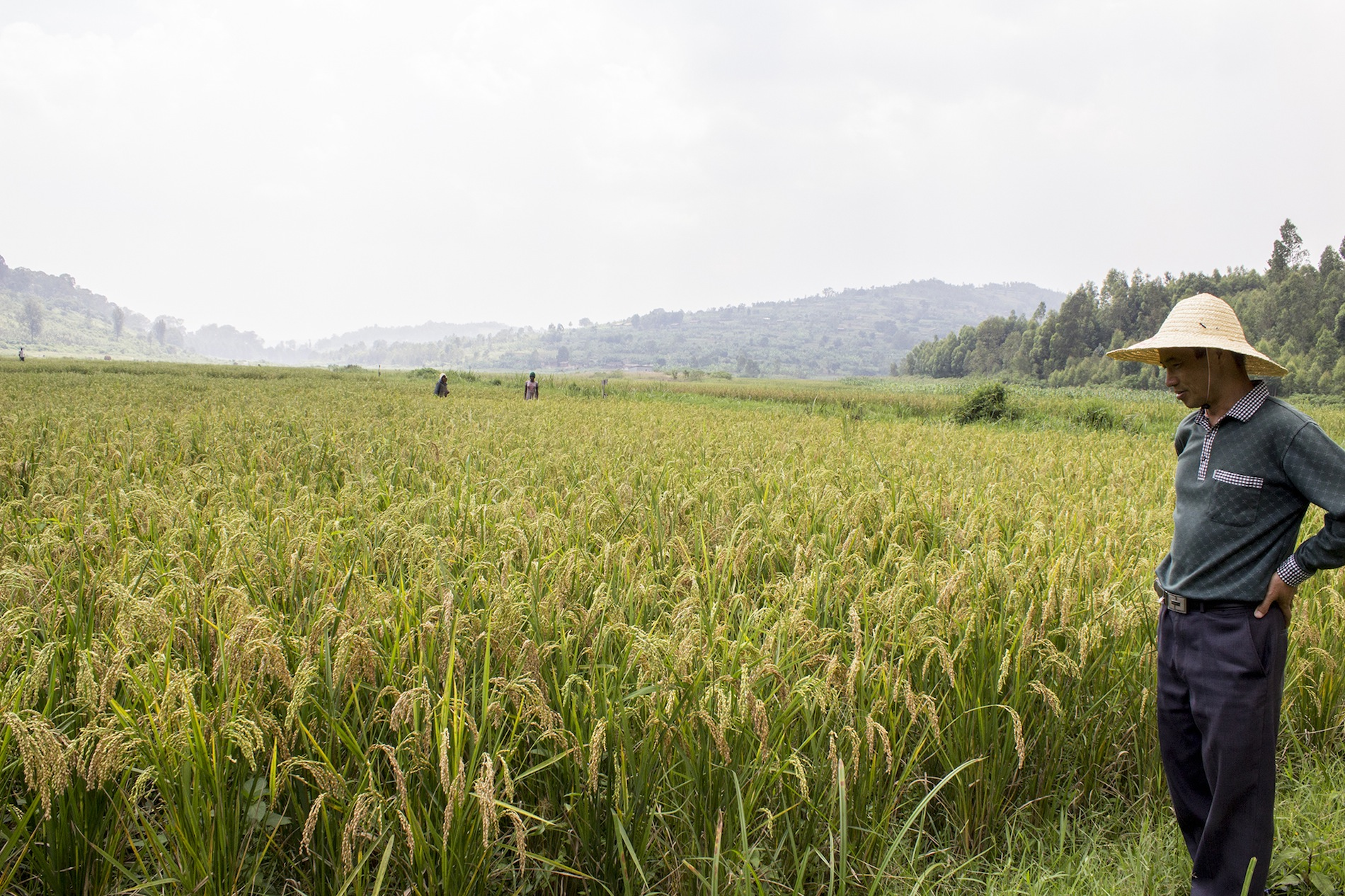 an-ratdc-staffer-observes-rice-paddies-planted-near-the-center