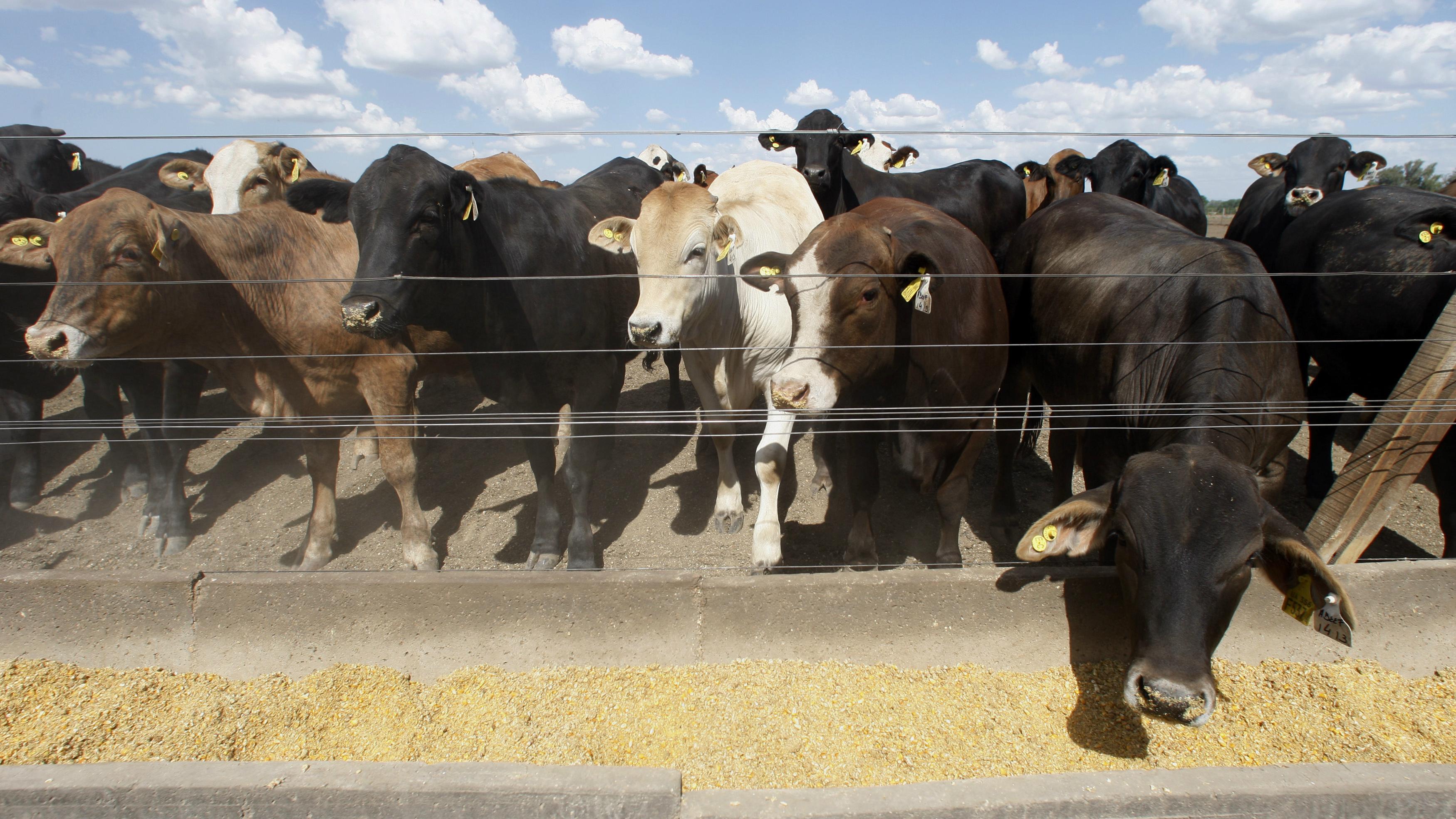 Beef cattle in a pen