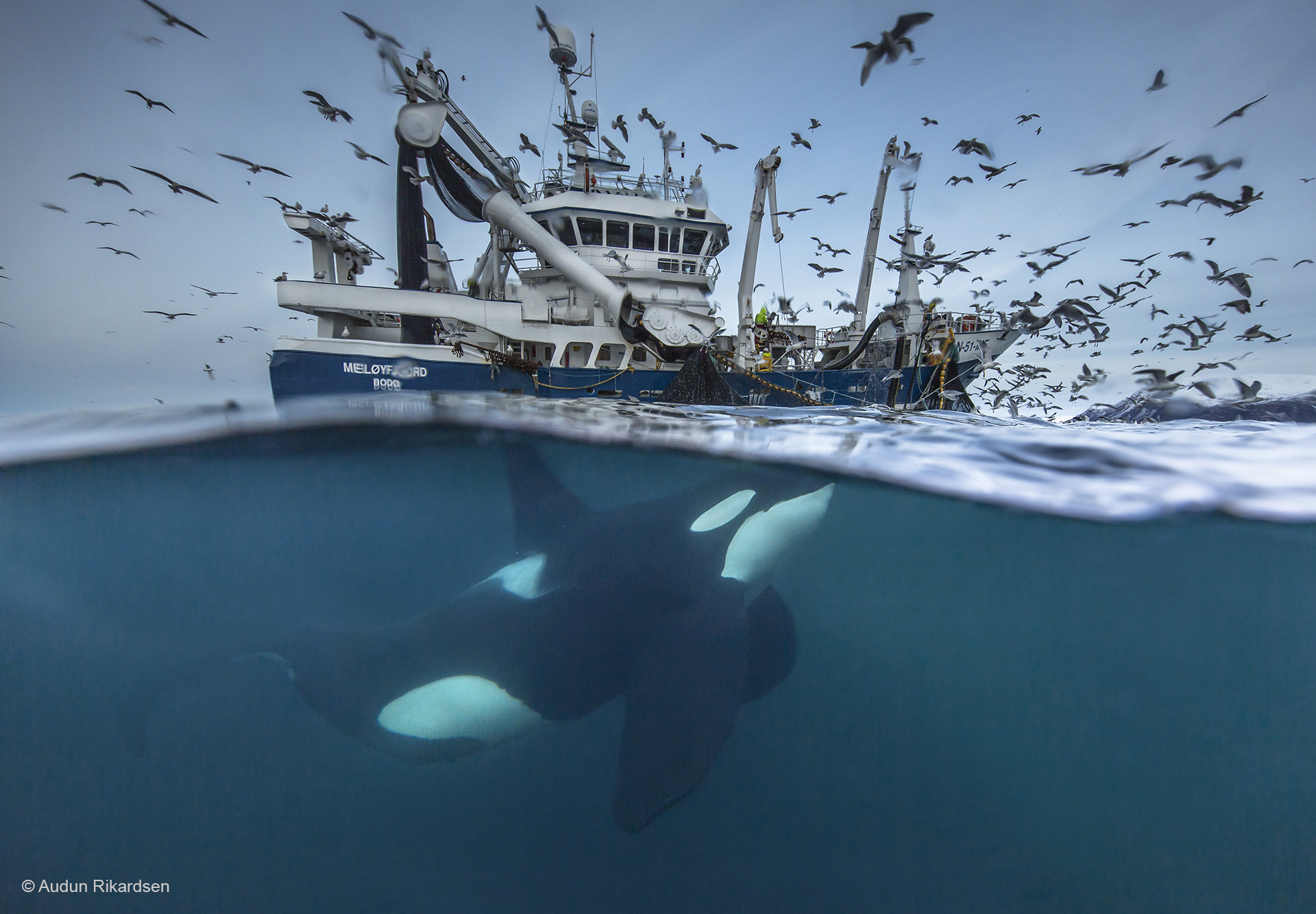 A killer whale swims up to a fishing boat to get a bite of herrings.