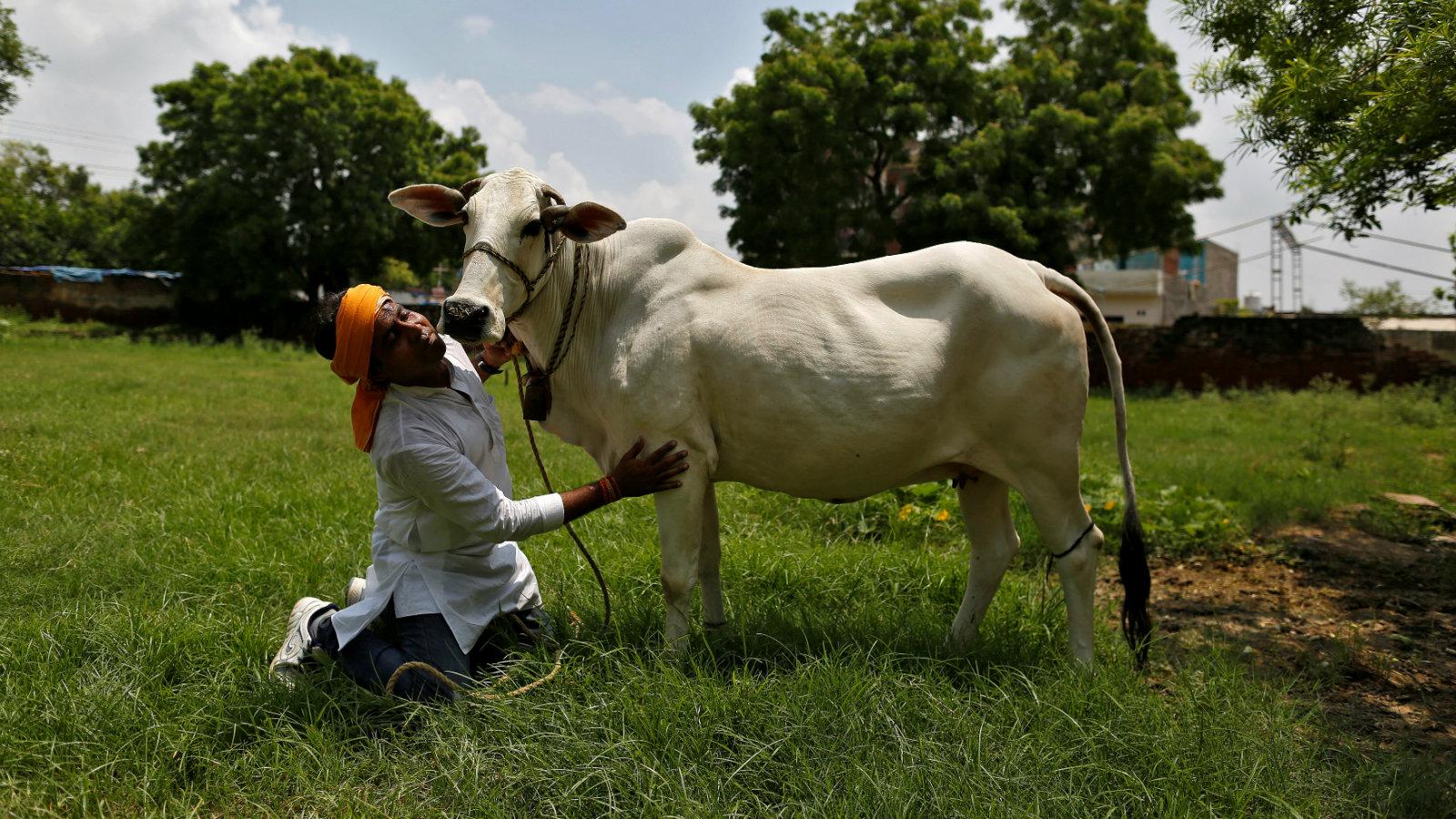 India-Politics-Cow