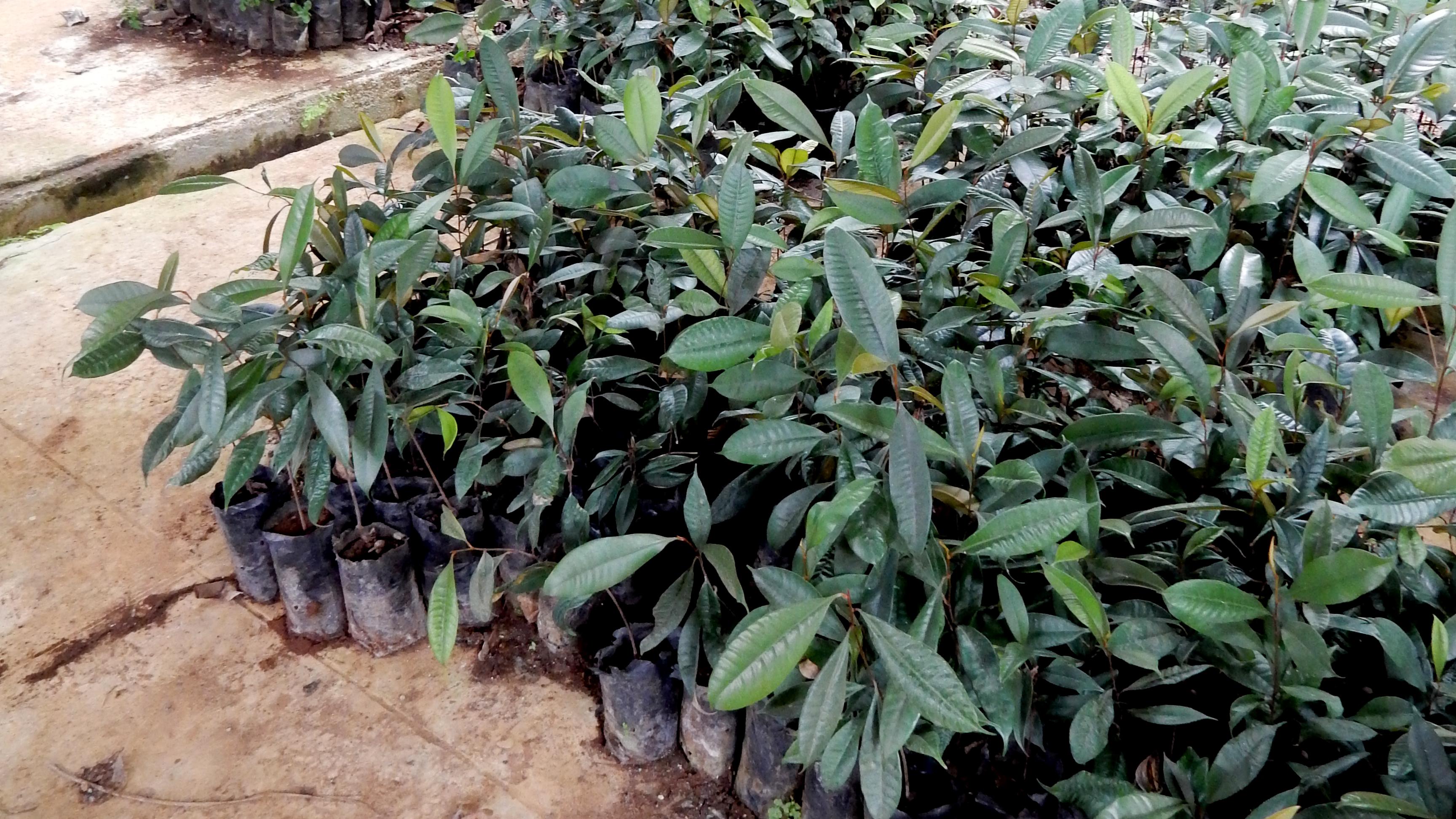 Palaquium gutta saplings at the Cipetir factory in Java, Jan. 2016.