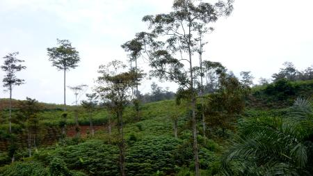 A present day gutta percha farm in Java.
