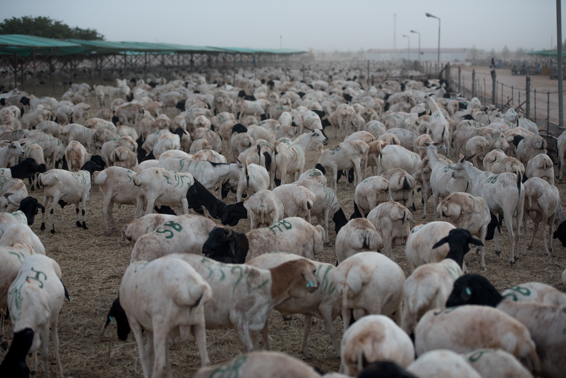Some of nearly a million goats and sheep wait at the Berbera port in Somaliland on August 16, 2016 before being shipped to Saudi Arabia for the Hajj.