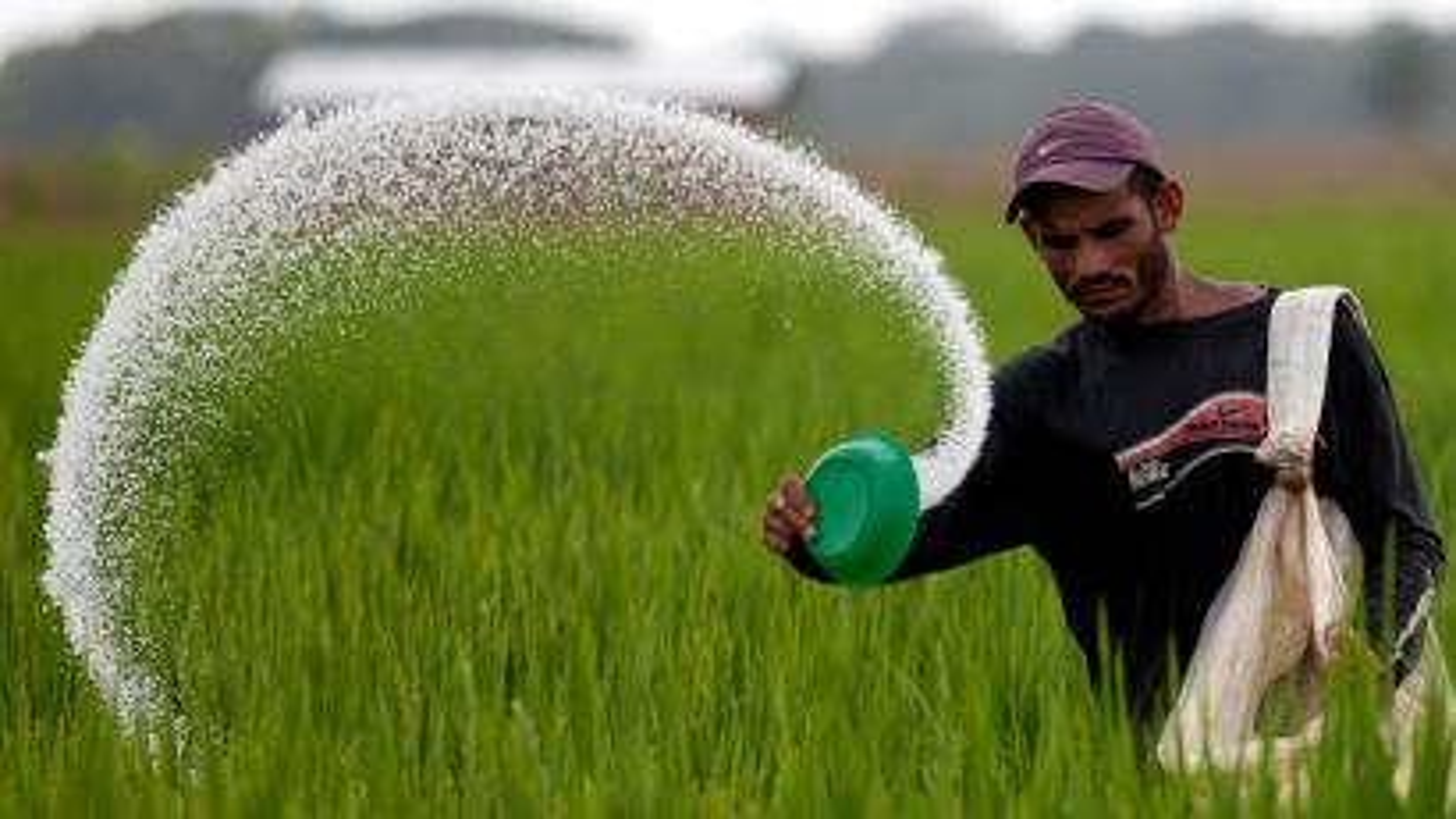 A Venezuelan farmer fertilizes a rice plantation.
