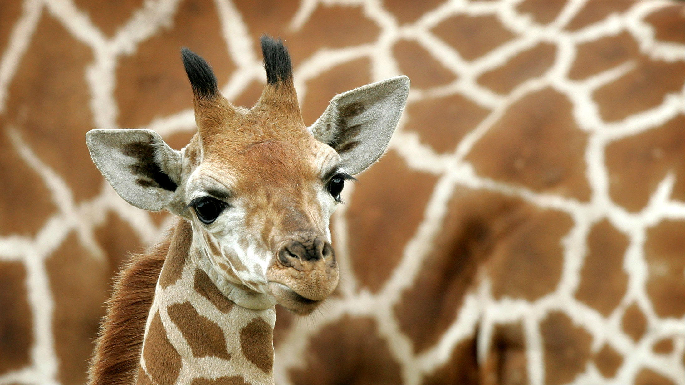 Where giraffes live: continents and countries, lifestyle features and interesting facts 70