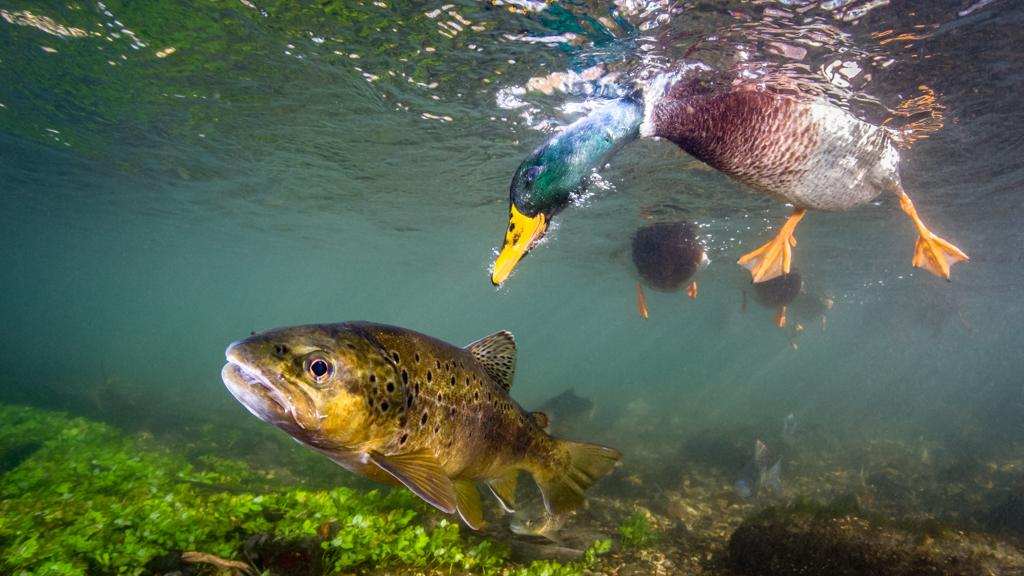 A mallard duck peers down at a brown trout, in Hampshire, England.