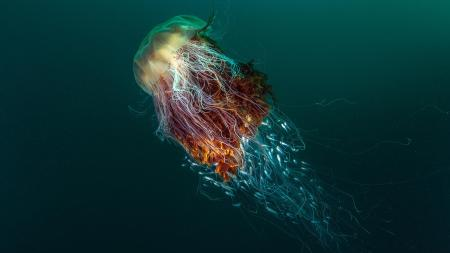 A Lion's mane jellyfish provides shelter to a small school of silver fish near Island of Hirta, Scotland.