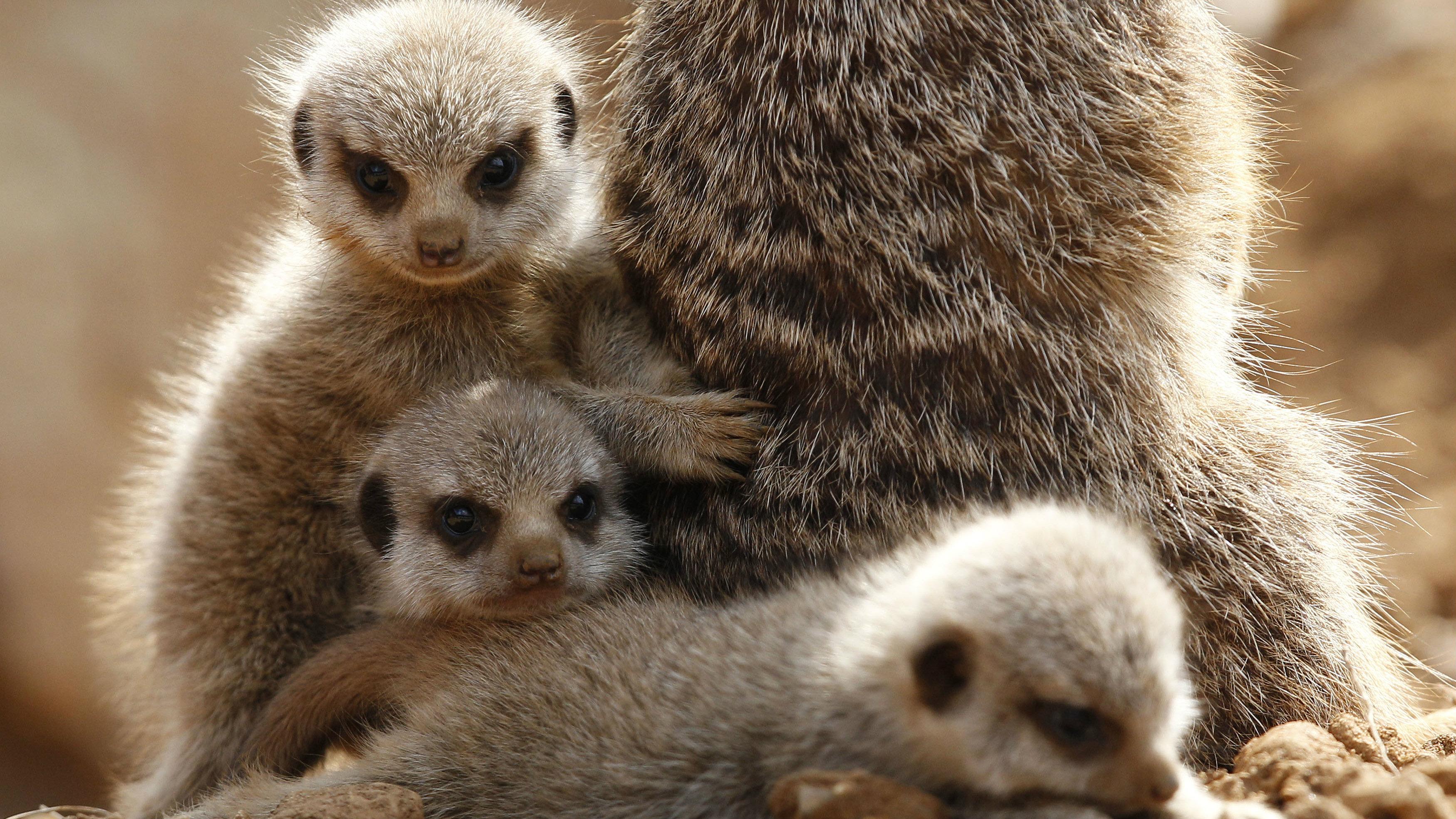 Three baby meerkats
