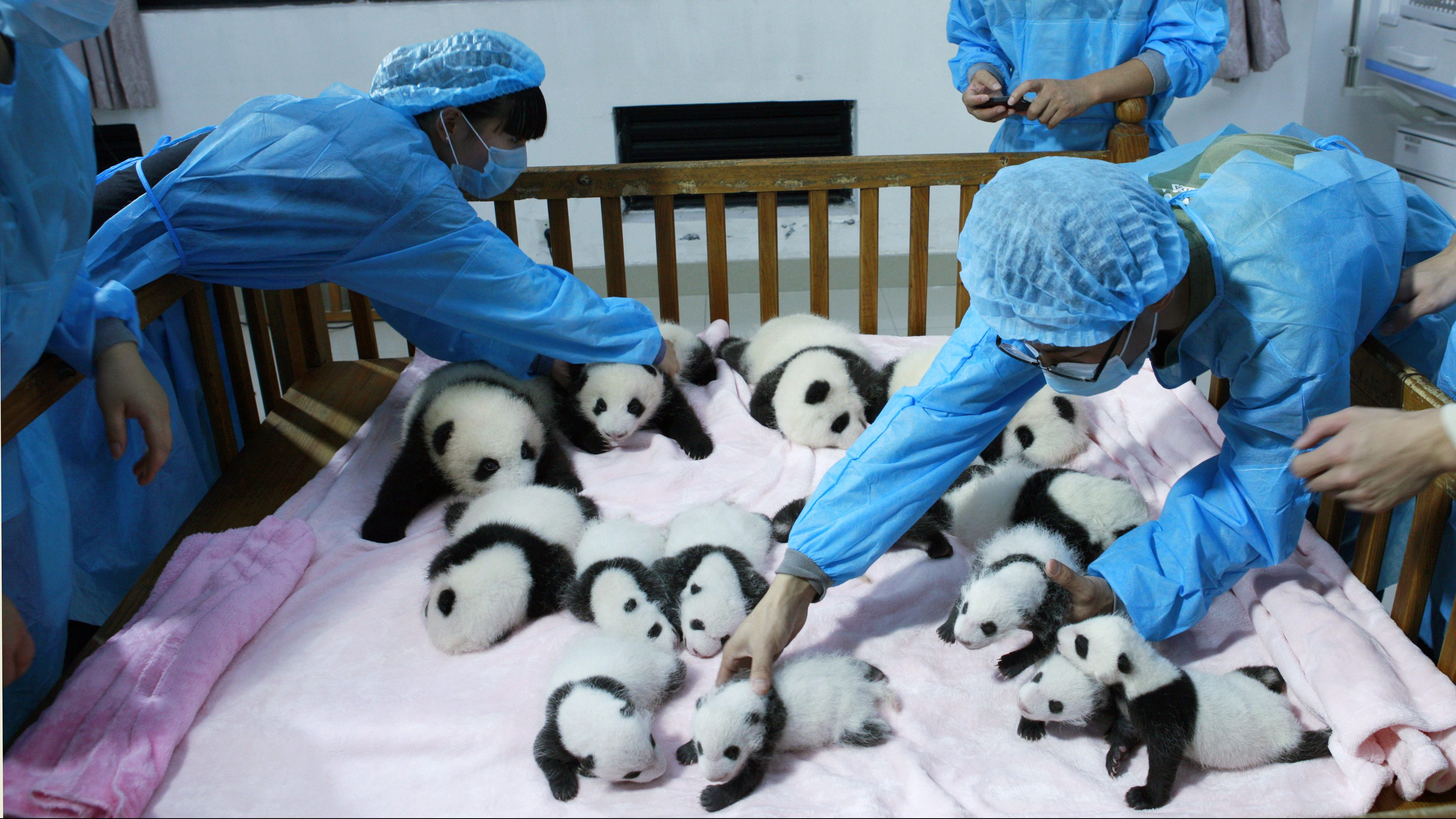 Giant Panda population is on the rise, and no longer endangered.
