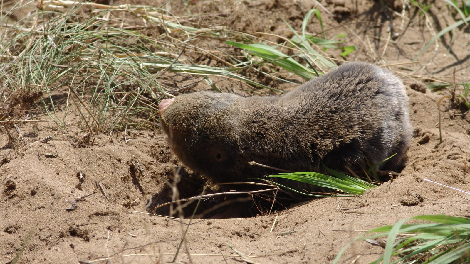 Hungary's refugee fence could threaten critically endangered Vojvodina blind mole rats