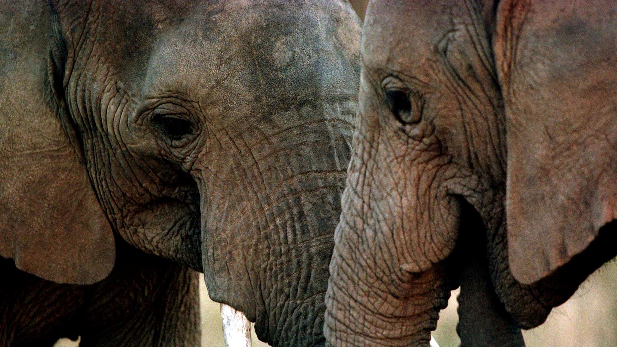 A pair of elephants are seen at a park in Knysna, South Africa