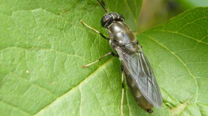 A black soldier fly on a leaf.