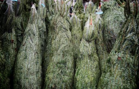 Christmas trees for sale at an open air market in Cologne, Germany.