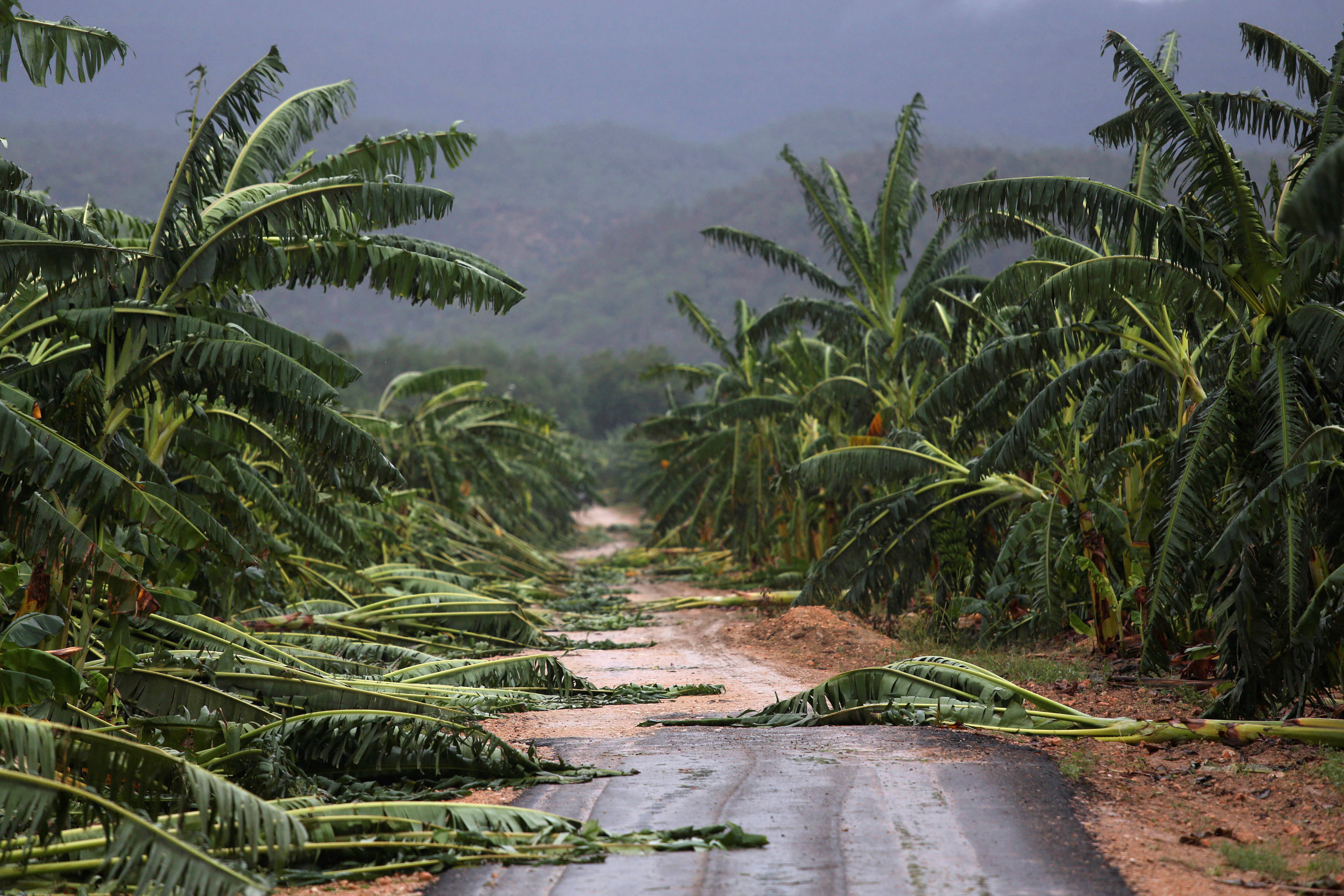 A view of partially destroyed banana trees at a road side after the passage of hurricane Matthew on the coast of Guantanamo province, Cuba on Oct. 5, 2016.