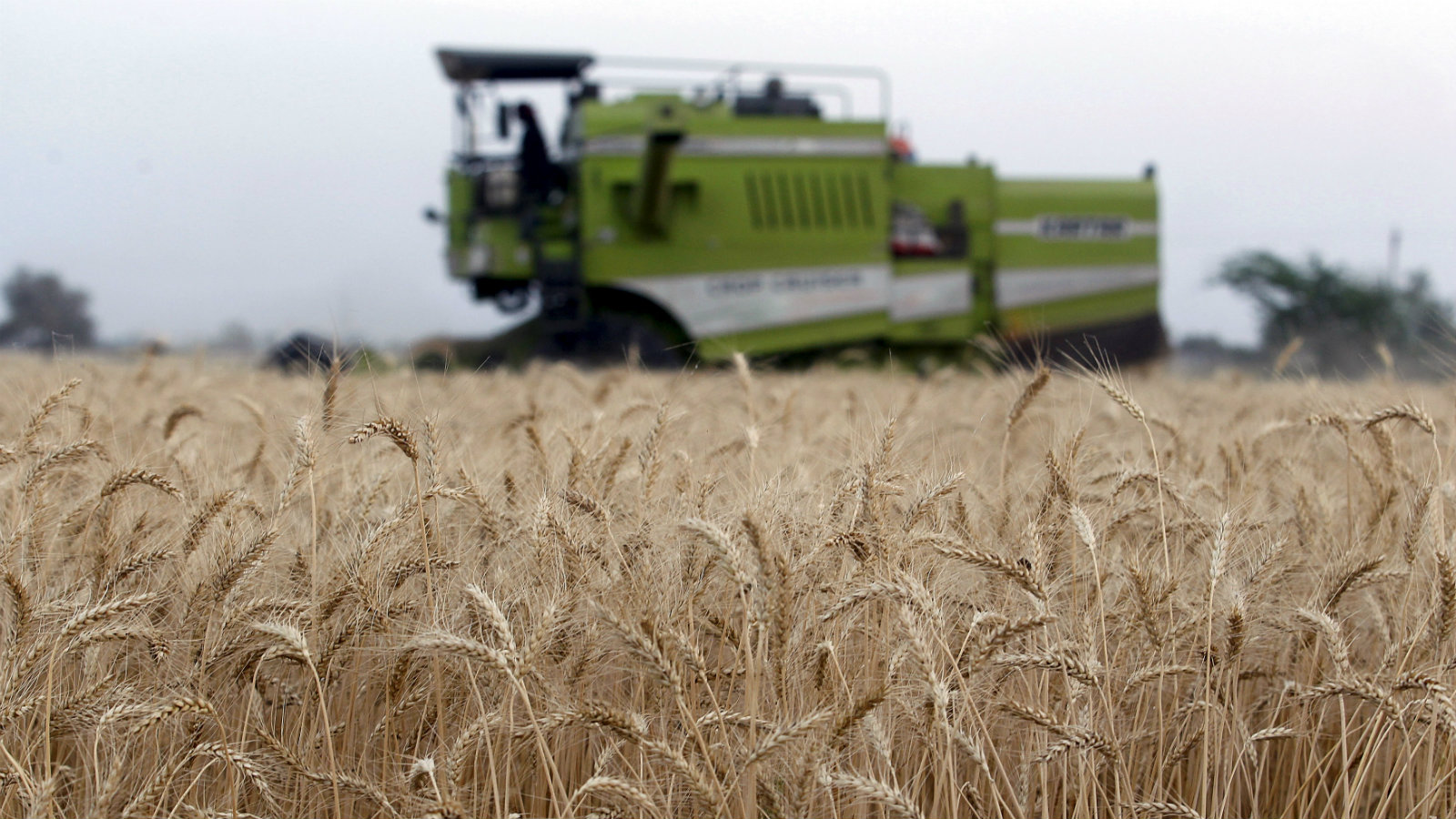 A harvester reaps wheat crop in a field on the outskirts of the western Indian city of Ahmedabad March 24, 2015. India is the world's biggest wheat producer after China.