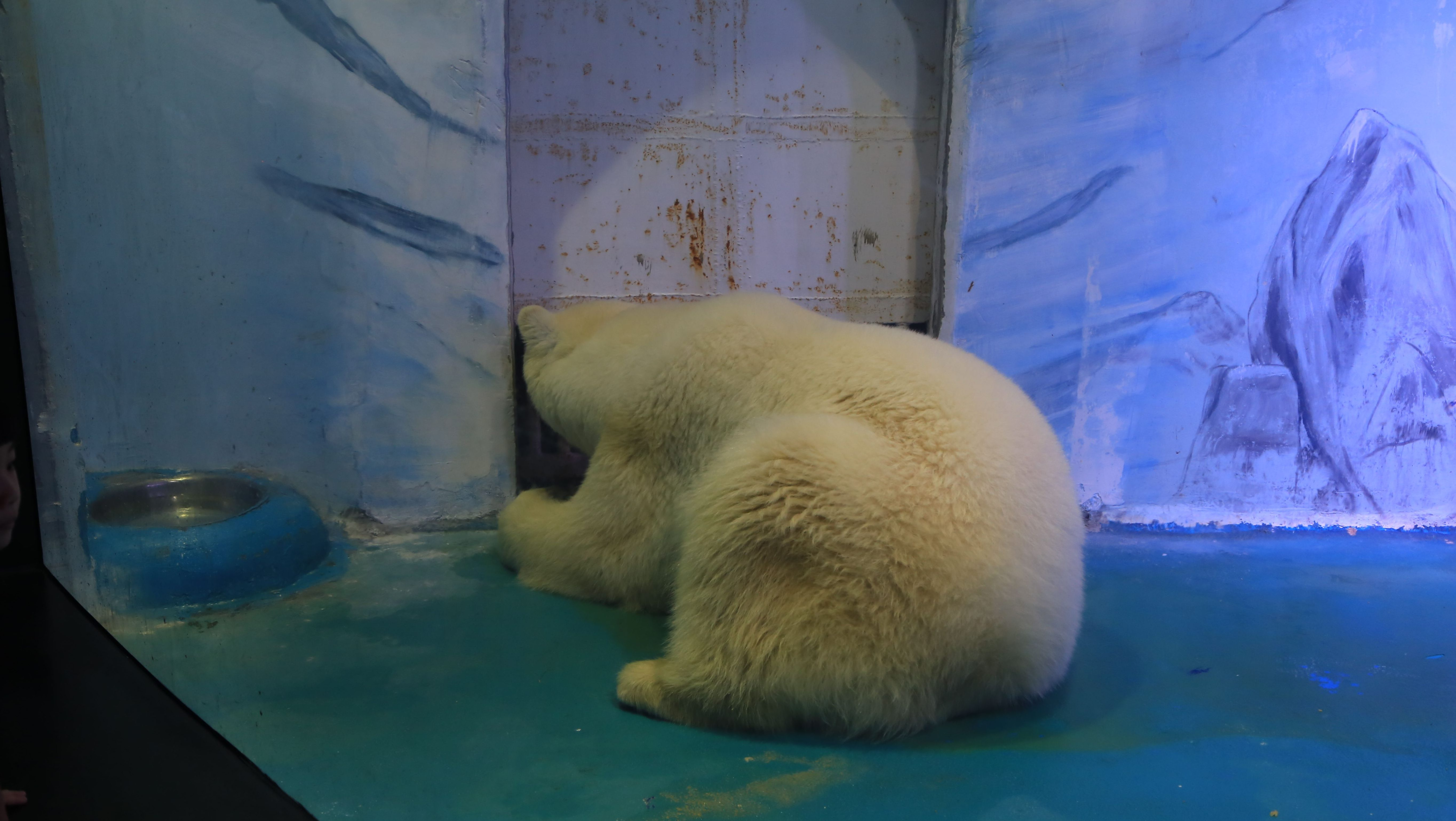 Shown here is a polar bear who has been put on display in Grandview Shopping Mall in Guangzhou, China. The animals in this mall are housed in tiny, inhumane enclosures with no enrichment.