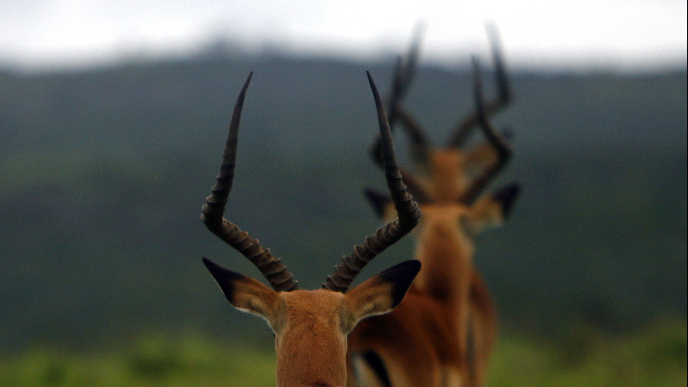Three Impala antelopes walk in a line in the Kariega Game Reserve east of Port Elizabeth. Picture taken January 4, 2008. REUTERS/Alex Grimm (SOUTH AFRICA) - RTR1VR81