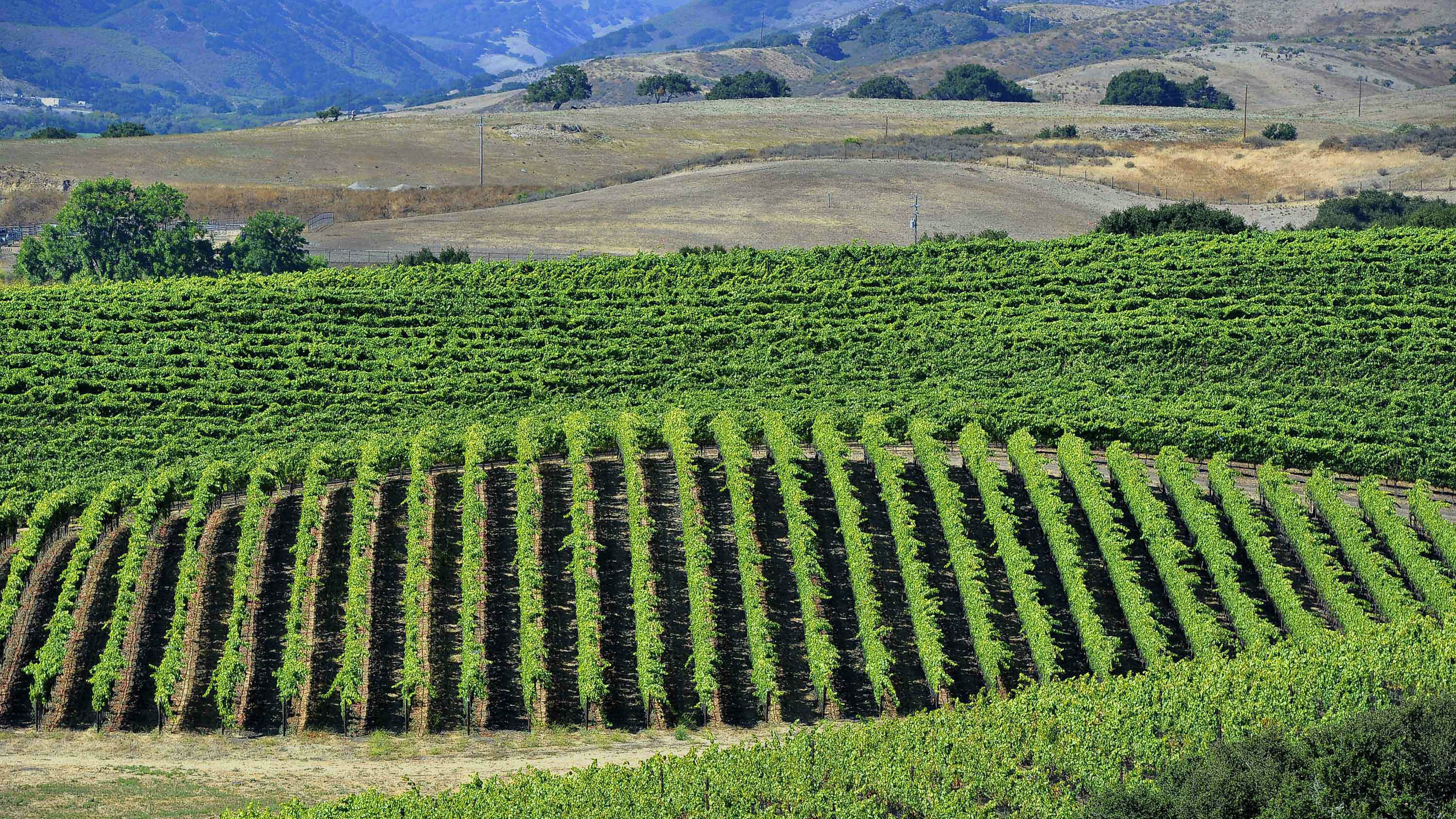 View of vineyard of Rebecca and Peter Work owners of the Ampelos Cellars winery and vineyard in California.