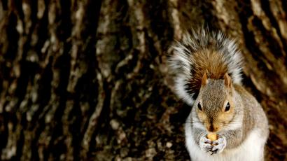 A squirrel munches on a nut in front of a tree trunk.