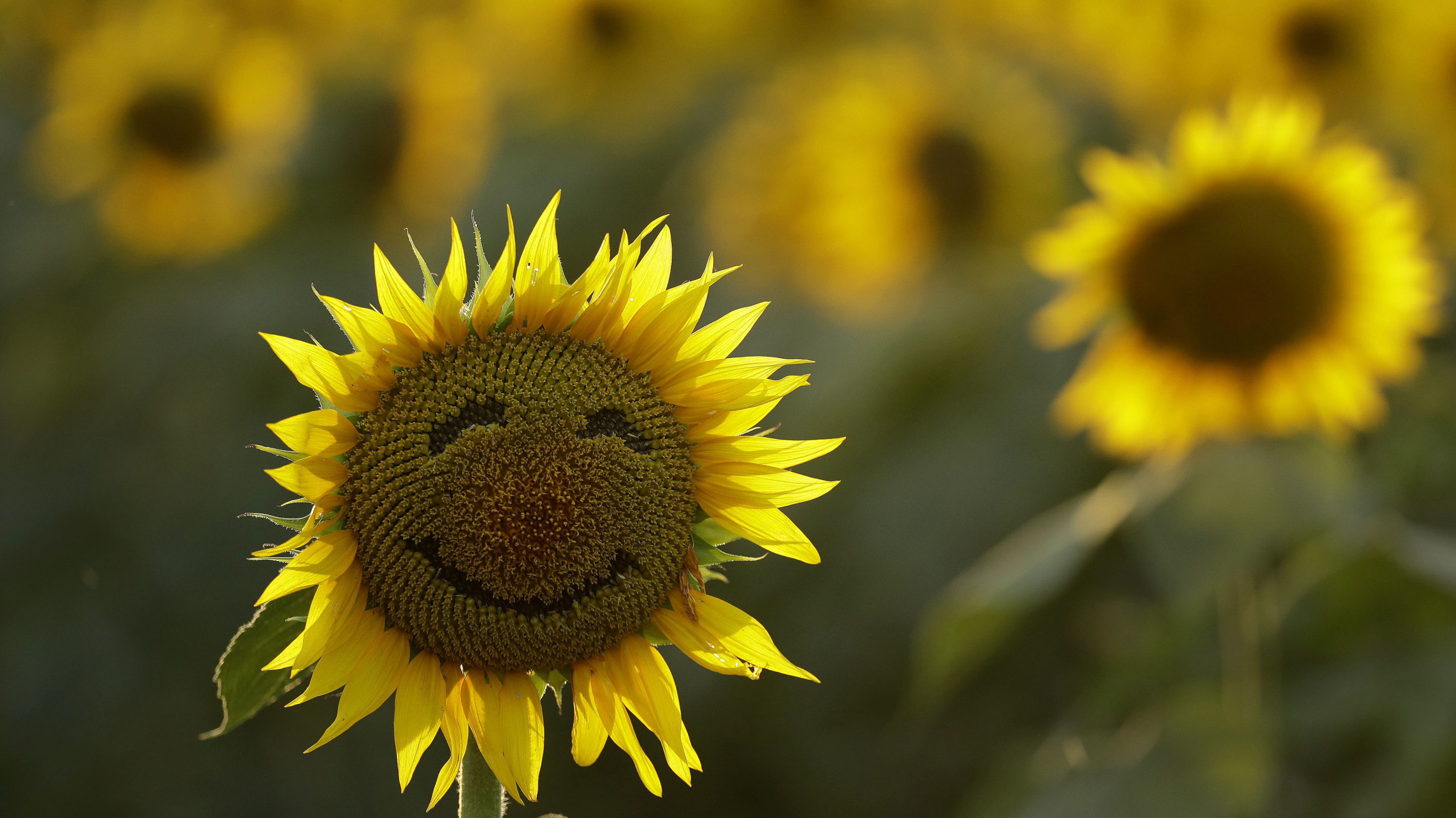 A smiley face is seen on a sunflower in a sunflower field Wednesday, Sept. 7, 2016, in Lawrence, Kan. The 40-acre field, planted annually by the Grinter family, draws thousands during the weeklong late summer blossoming of the flowers.