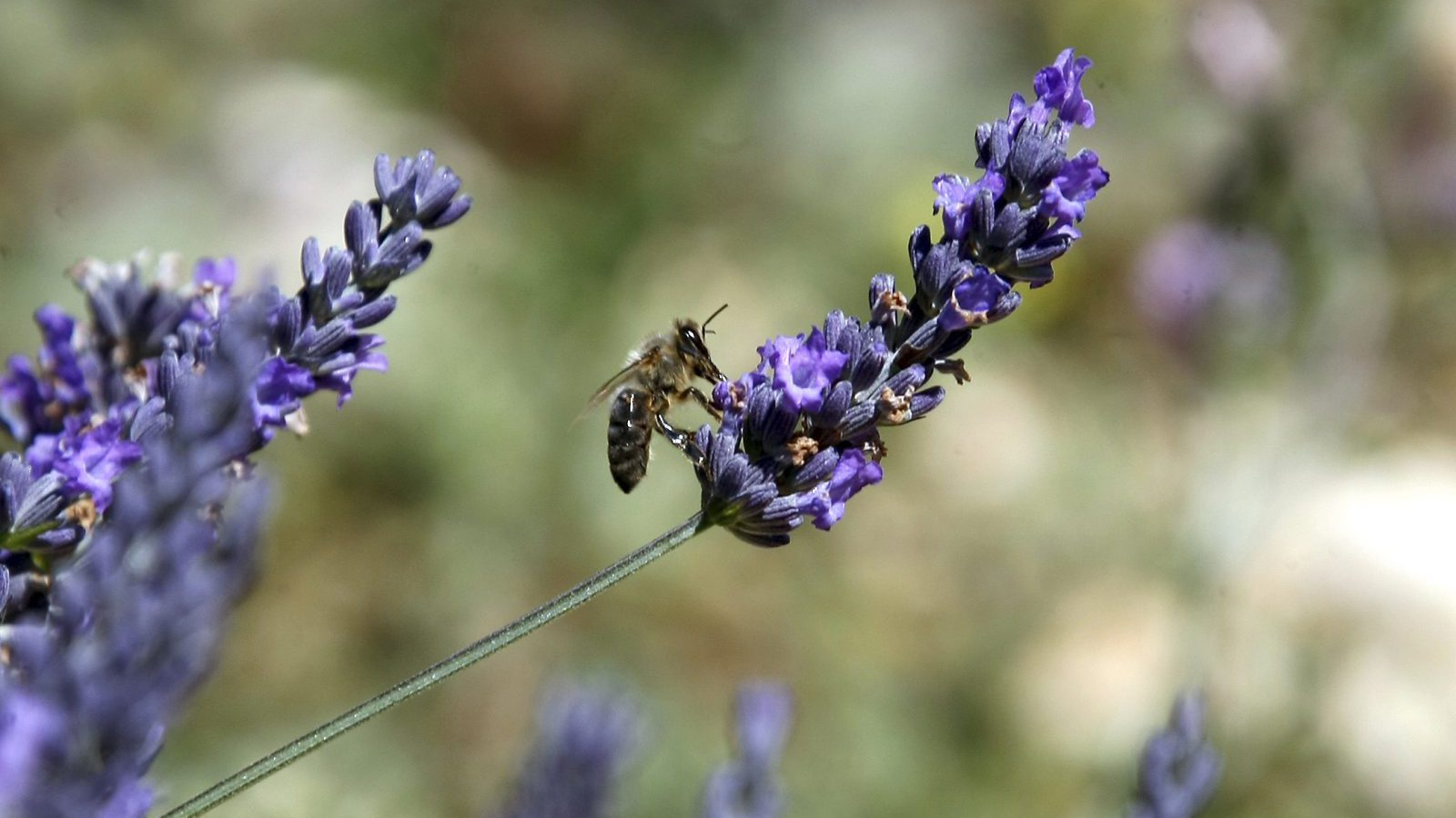 In this picture taken Wednesday, Aug. 27, 2014, a bee gathers nectar of lavender from a field in Sederon, near Carpentras, southern France. The sweet smell of lavender is tinged with bitterness this year in the south of France, as farmers who harvest the flower protest European regulations linking the plant to chemical toxins.