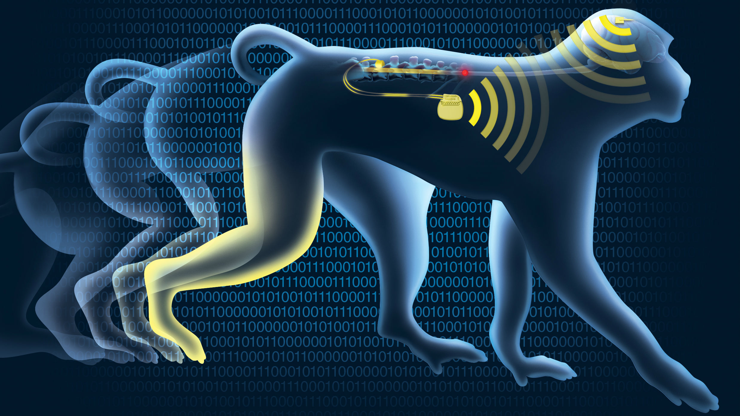 An illustrated monkey walking with the brain-spinal interface highlighted.